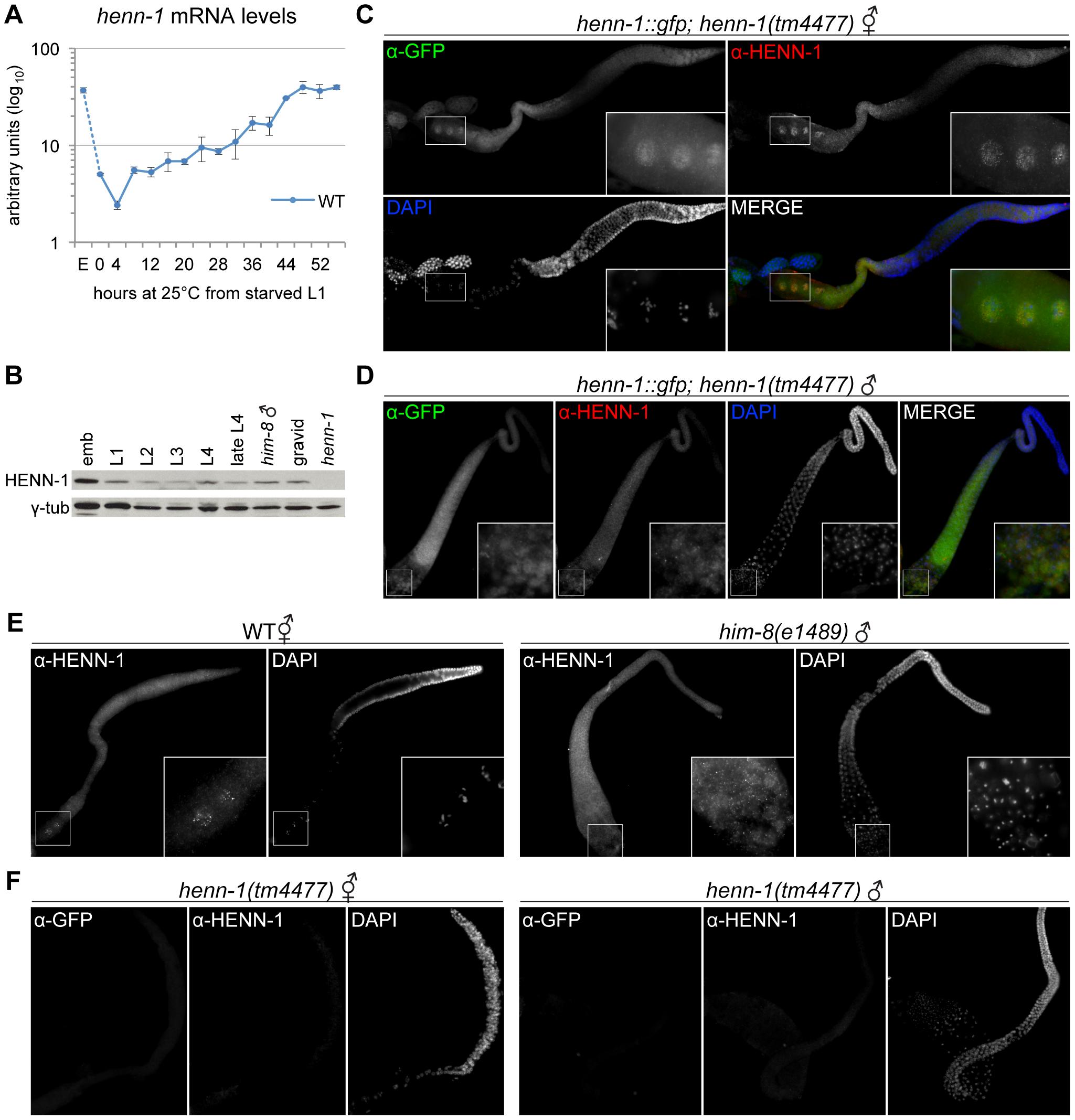 HENN-1 Is Broadly Expressed in <i>C. elegans</i> Germline.