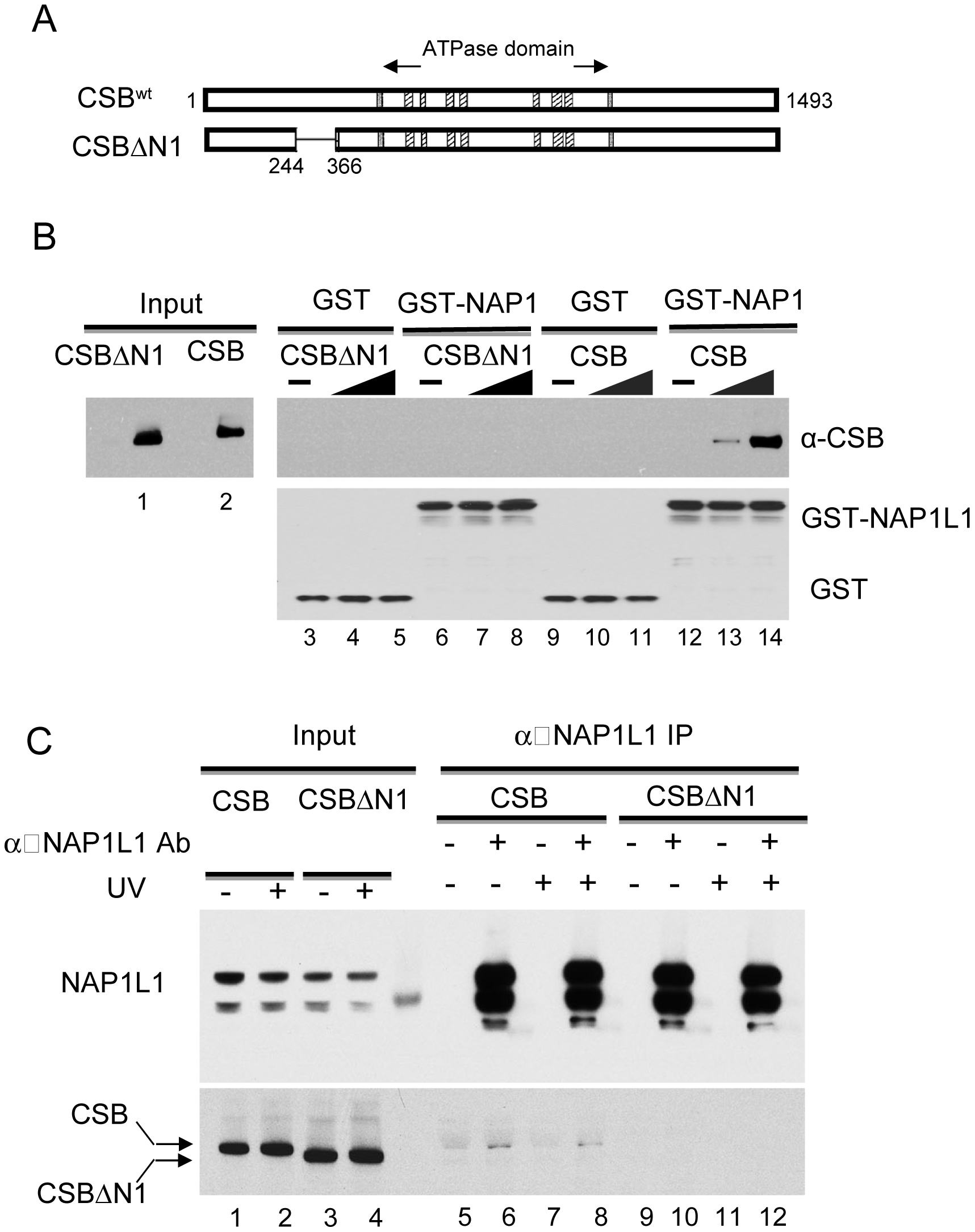 The N1 Region of CSB Is Critical for NAP1L1 Interaction.