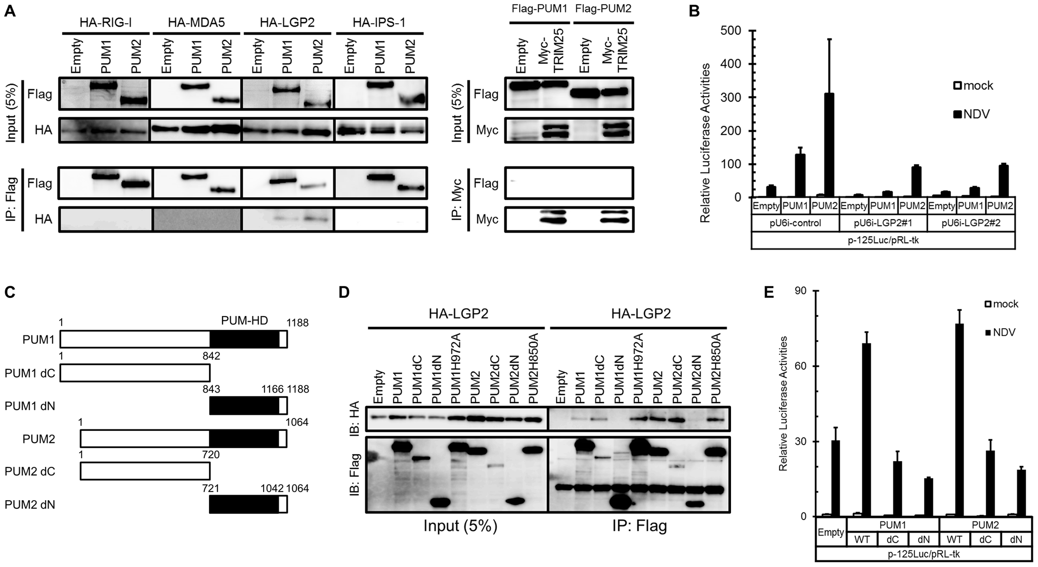 Physical association of PUM1 and PUM2 with LGP2 and involvement of N- and C-terminal domains of PUM1 and PUM2 in IFN induction.