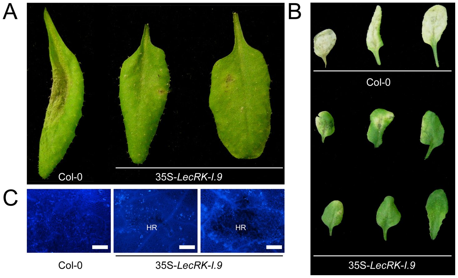 <i>LecRK-I.9</i> overexpression in Arabidopsis results in enhanced resistance to <i>P. brassicae</i>.