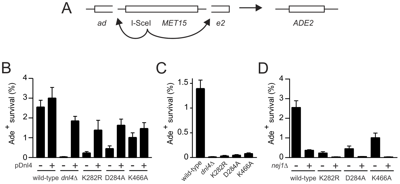 Residual NHEJ in the chromosomal suicide deletion assay with catalytically defective Dnl4.