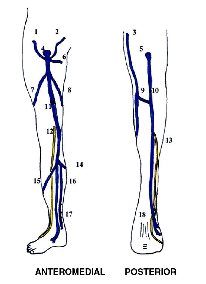 Povrchový systém žil dolní končetiny 1. Vena circumflexa superficialis 2. Vena epigastrica superficialis 3. Vena saphena magna 4. Vena saphena magna 5. Vena saphena parva 6. Vena pudenda externa 7. Vena accesoria lateralis 8. Vena accesoria medialis 9. spojka mezi VSM a VSP 10. Mayův perforátor 11. Hunterův perforátor 12. n. saphenus 13. n. suralis 14. spojka mezi VSM a VSP 15. Vena arcuata anterior 16. Vena arcuata posterior 17. Cockett I, II, III, Shermanův perforátor 18. Bassiho perforátor