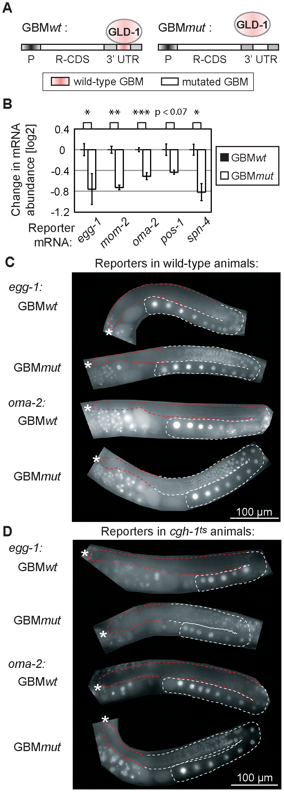 GLD-1 binding elicits mRNA stabilization and translational repression.