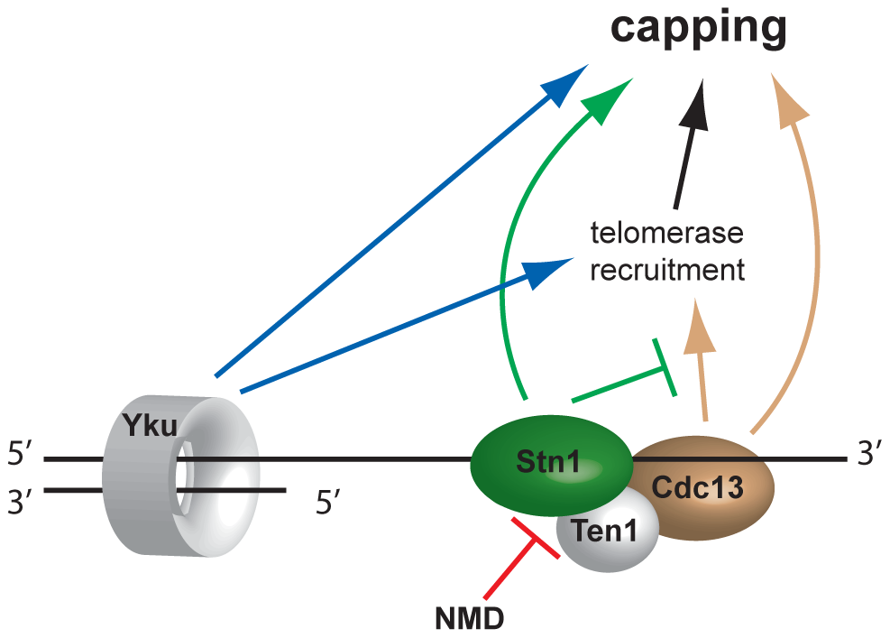 Model of telomere capping activities influenced by NMD.