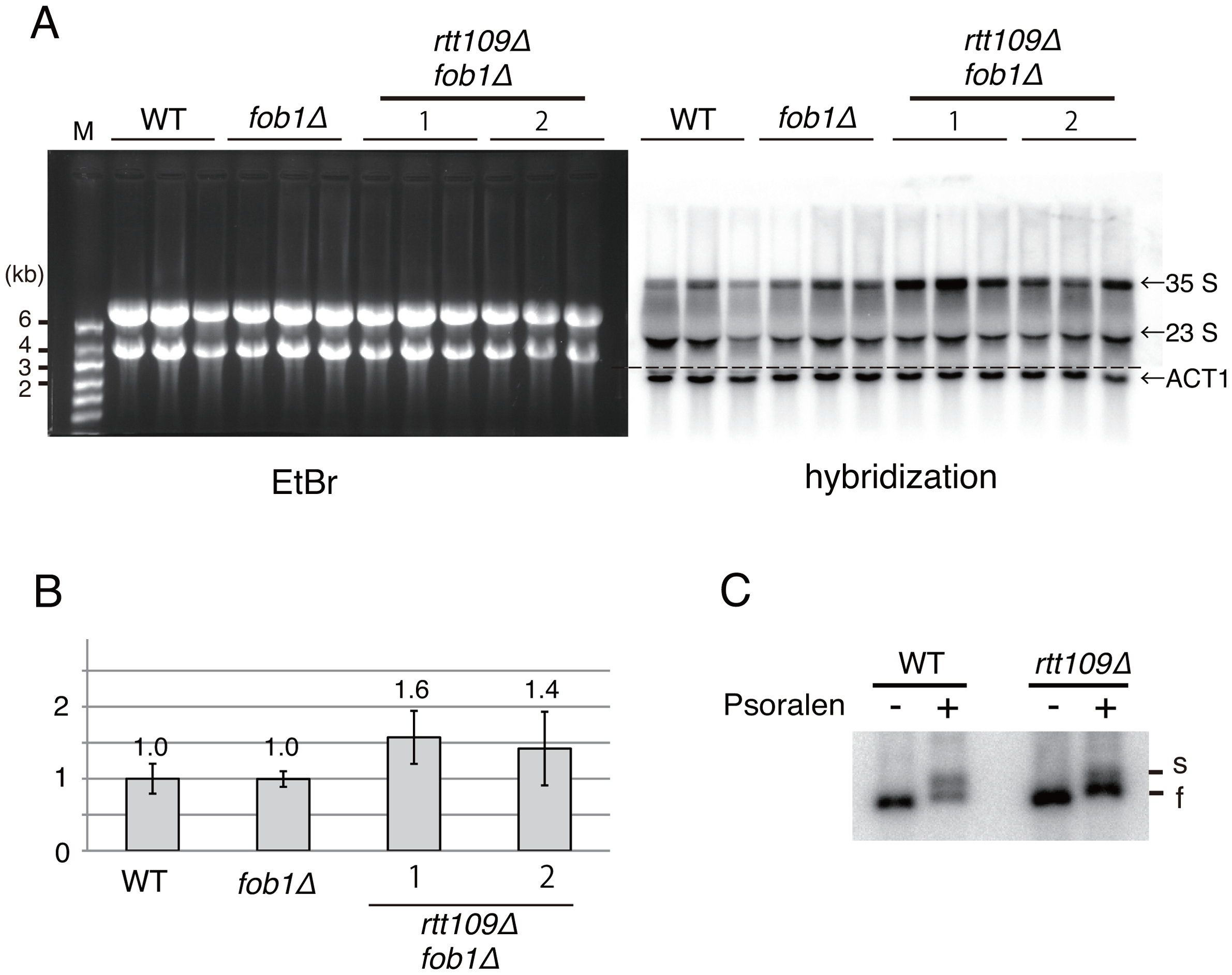 Hyper-amplification of rRNA genes is not a result of transcriptional compensation.