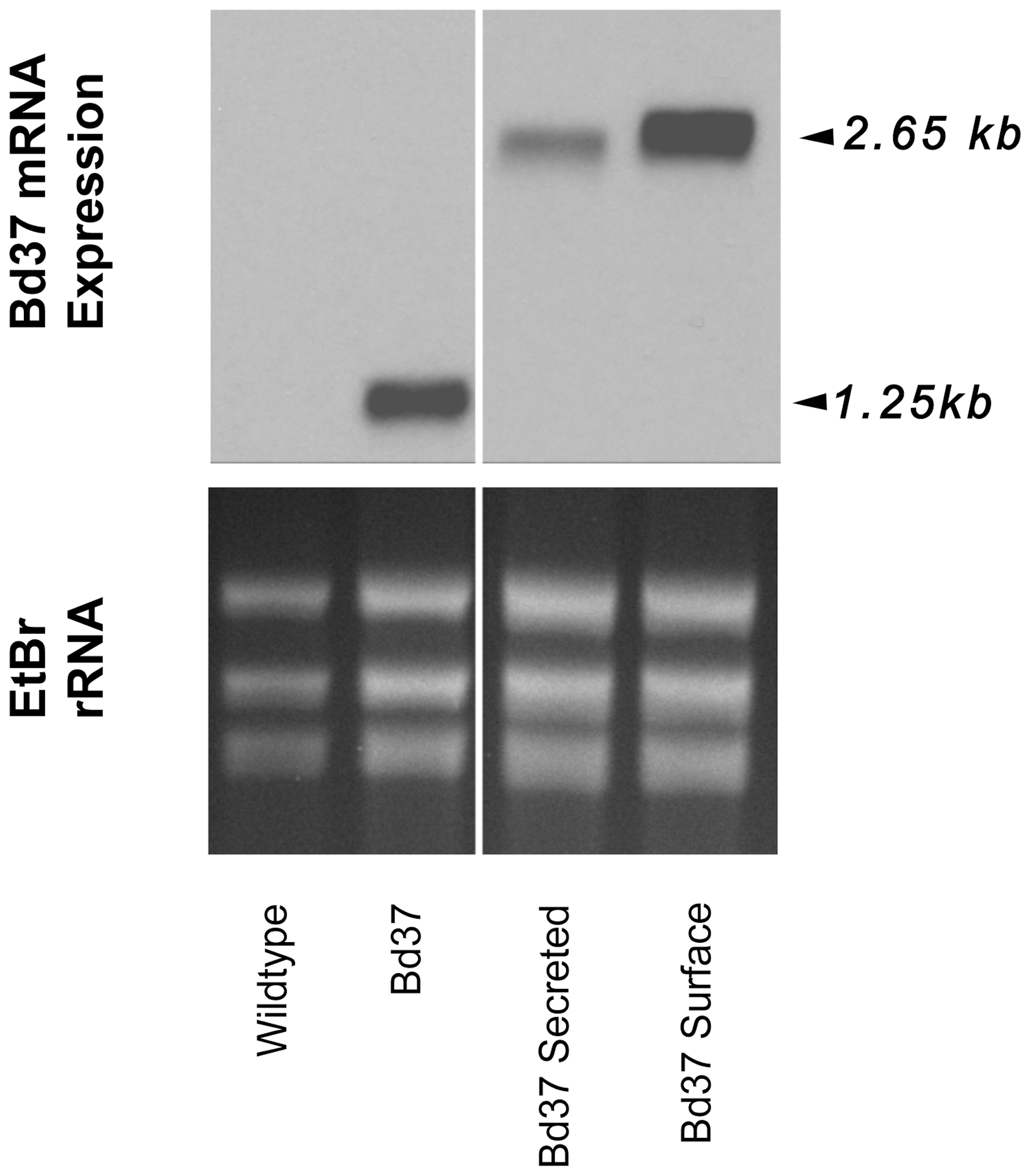 Transcript expression of exogenous genes in transgenic <i>T. theileri.</i>