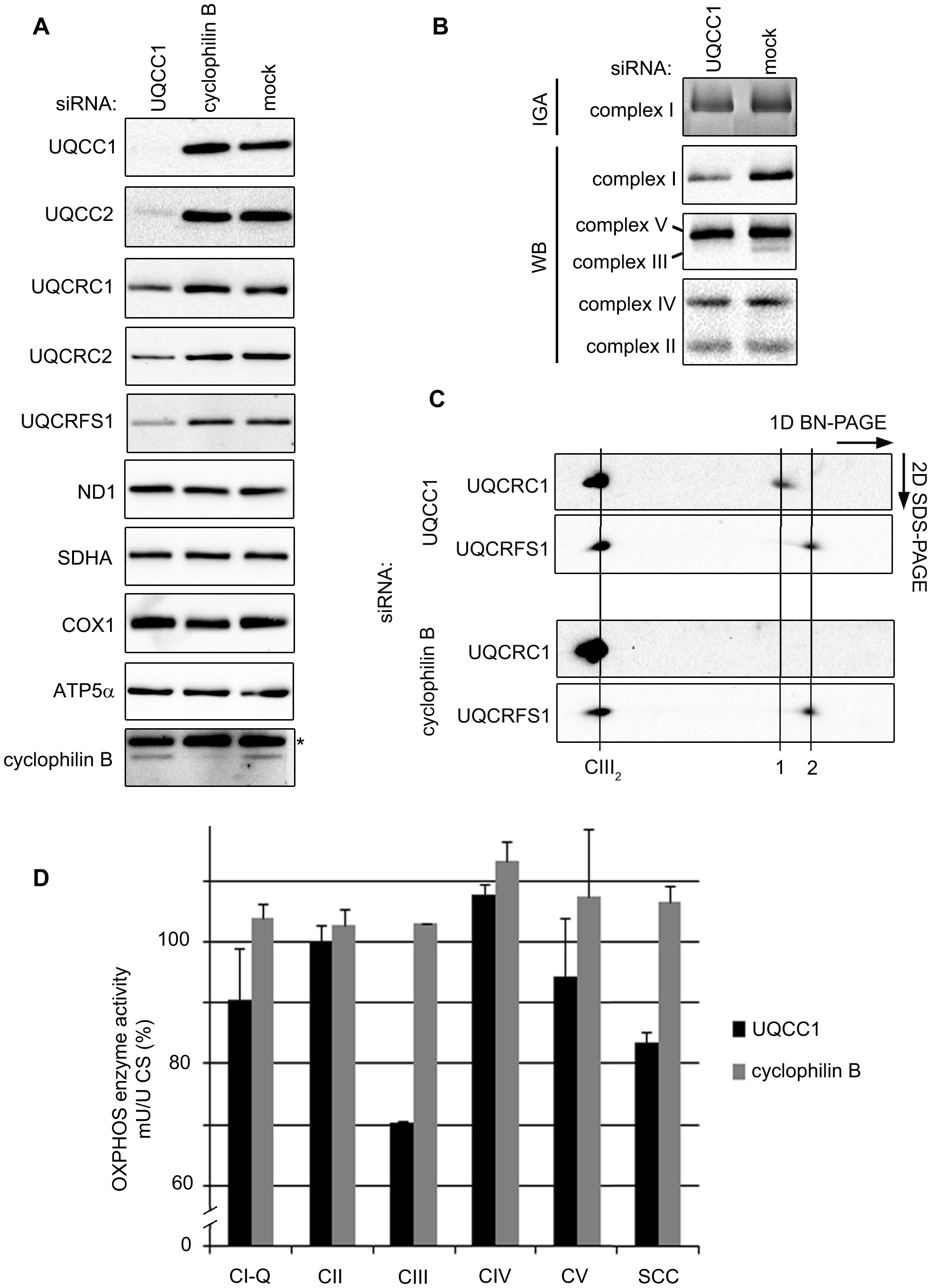 Depletion of the UQCC2 binding partner, UQCC1, affects complex III assembly.