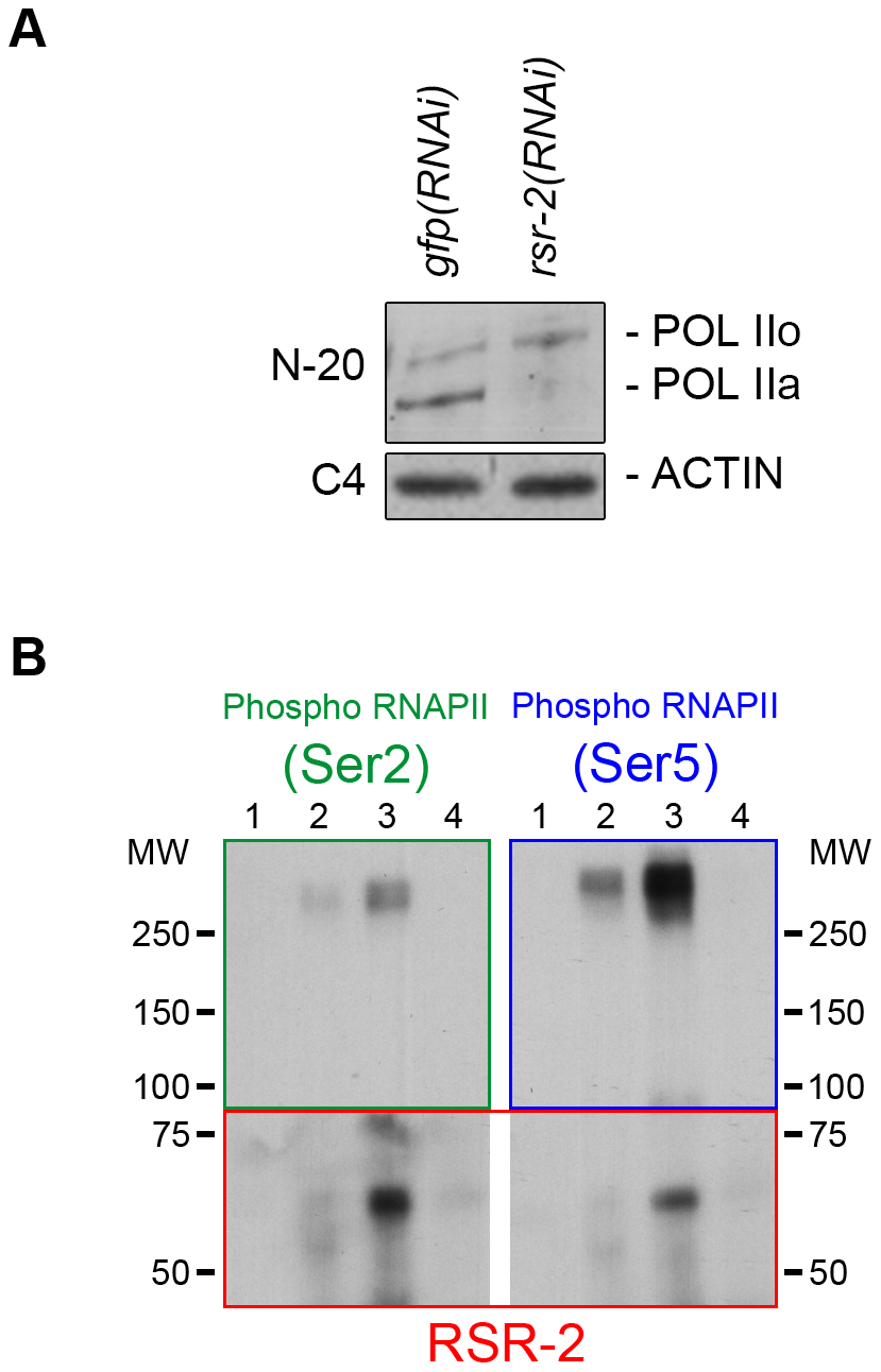 RSR-2 interacts with RNAPII and affects its phosphorylation state.