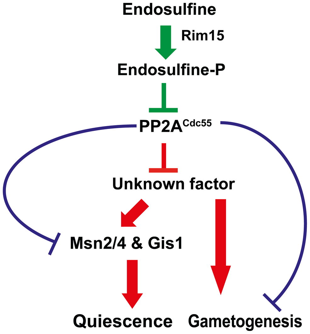 Regulation of entry into gametogenesis and quiescence by the Rim15-Endosulfine-PP2A<sup>Cdc55</sup> signalling module.