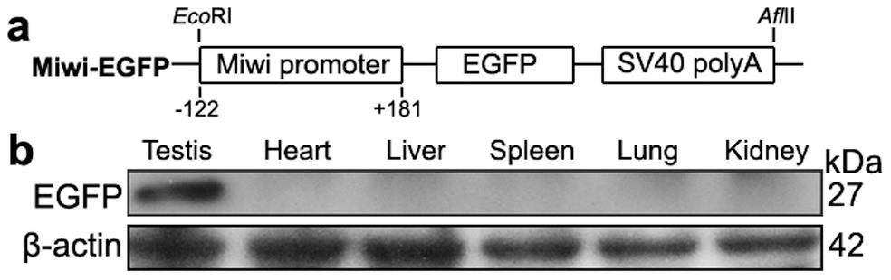 <i>Miwi</i>-<i>EGFP</i> transgenic construct and expression in transgenic mice.