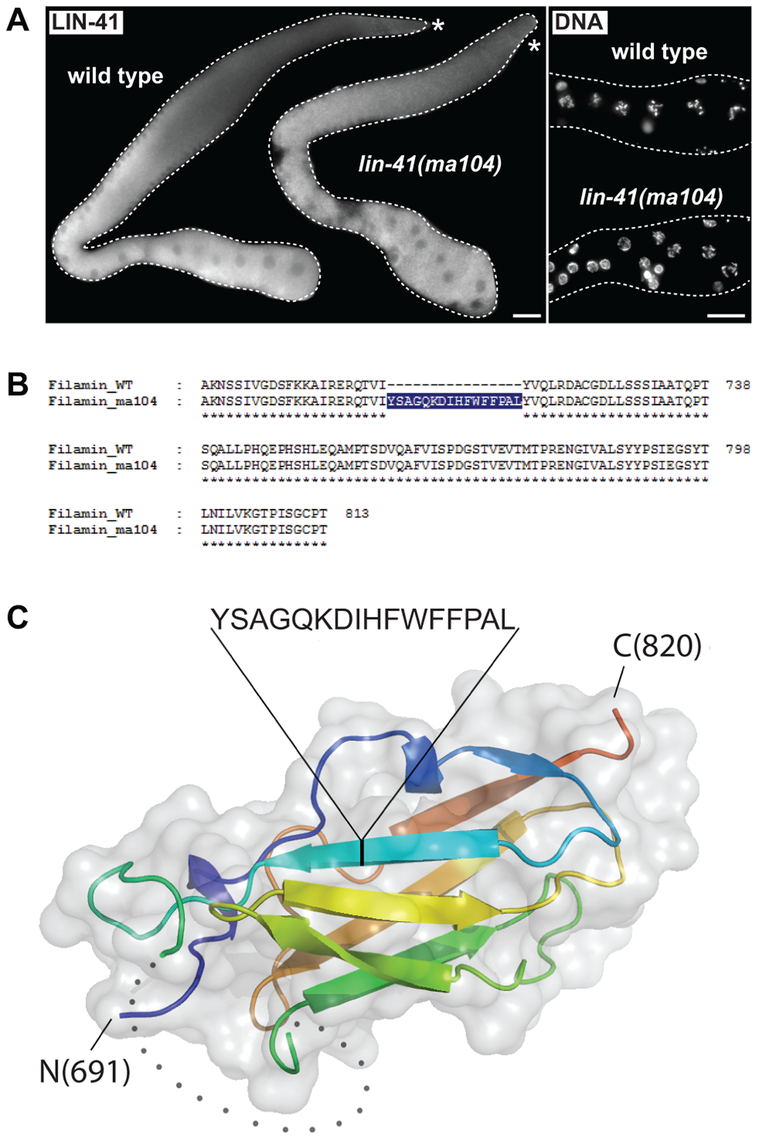 The filamin domain of LIN-41 is not essential for the germline function.