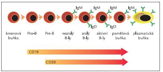 Exprese CD20 v průběhu maturace B-lymfocytů.