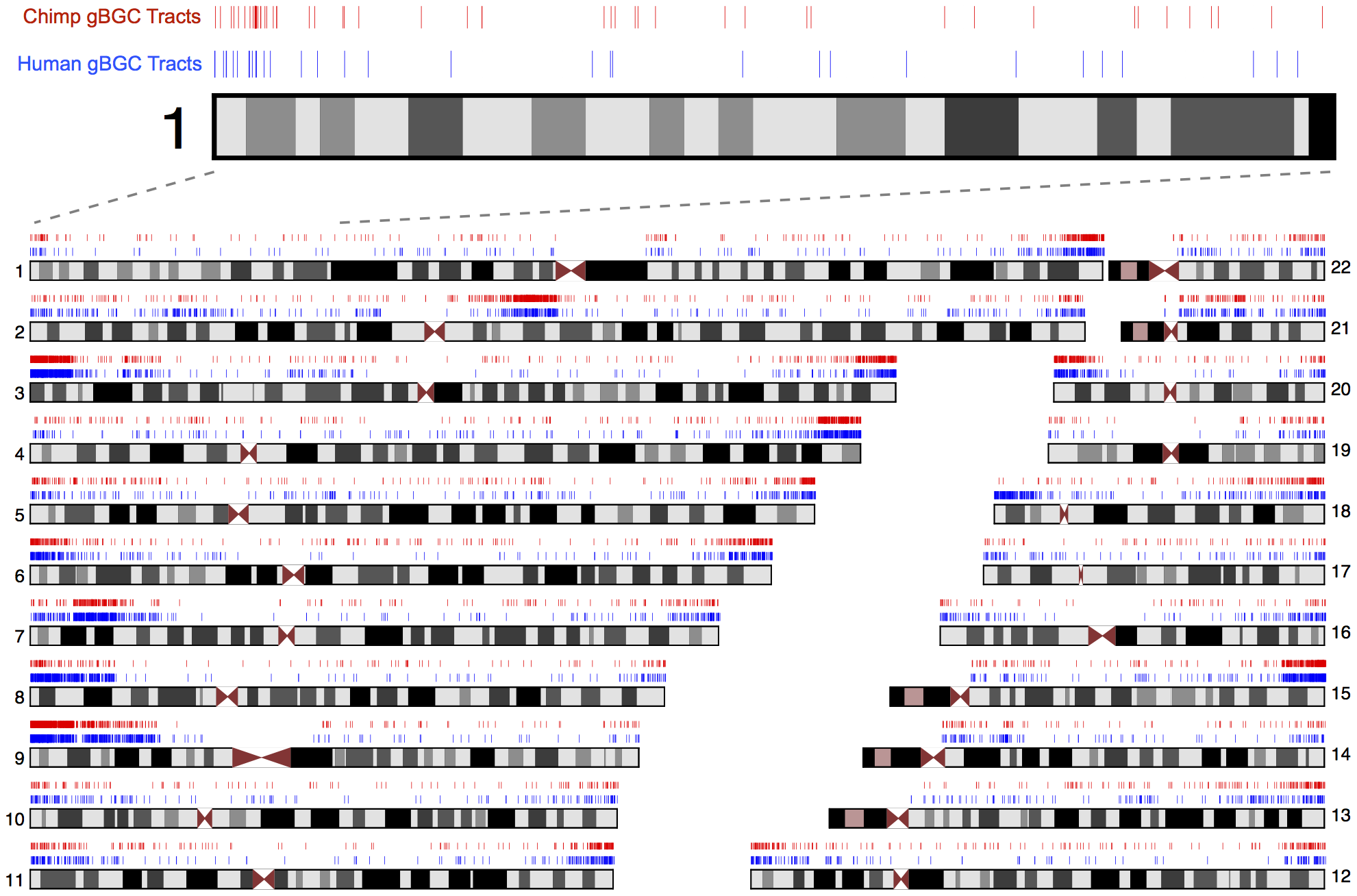 Genomic distribution of predicted human and chimpanzee gBGC tracts.