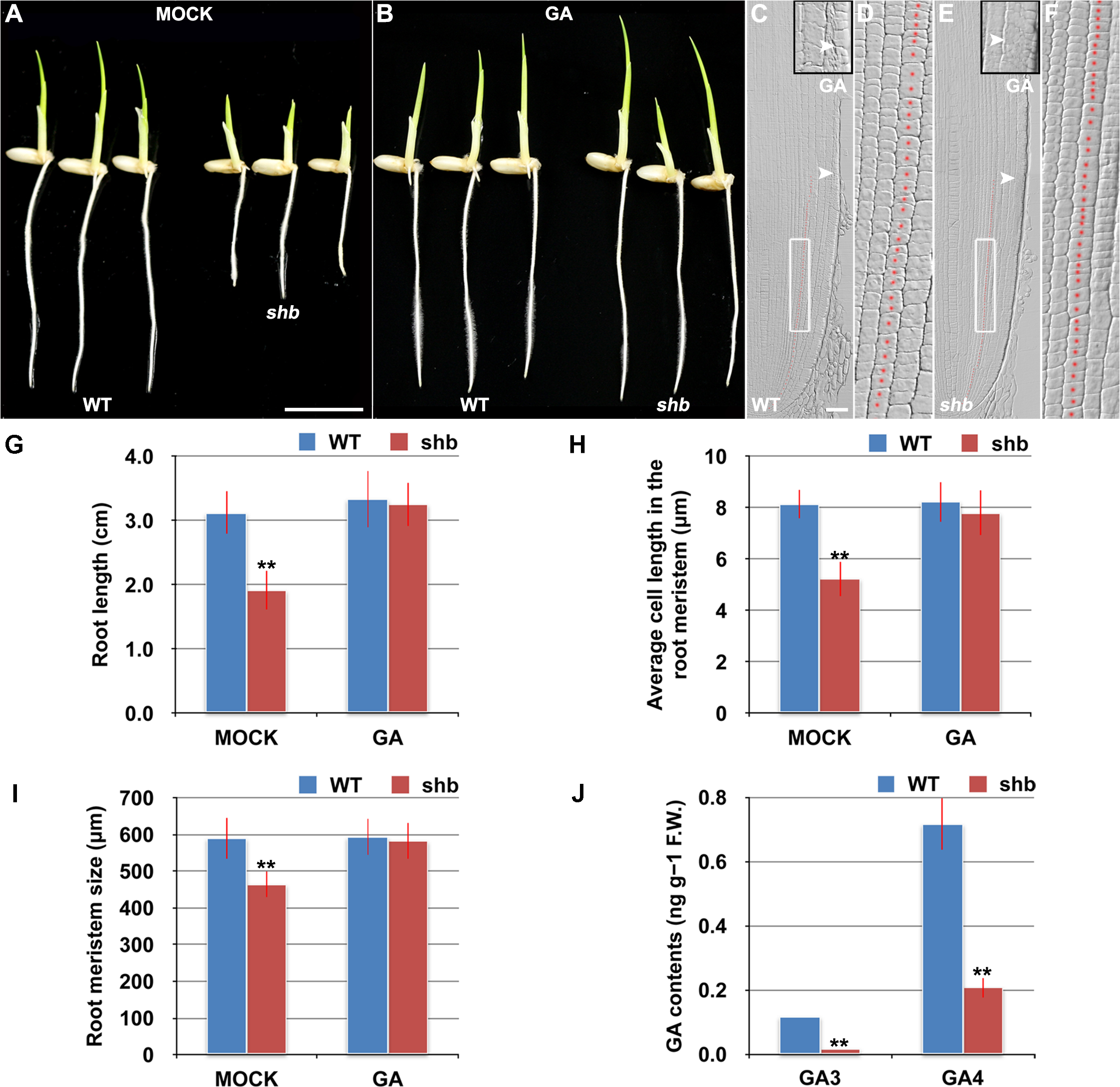 <i>shb</i> is a novel GA-deficient mutant whose root phenotypes could be restored to WT by exogenous application of GA<sub>3</sub>.
