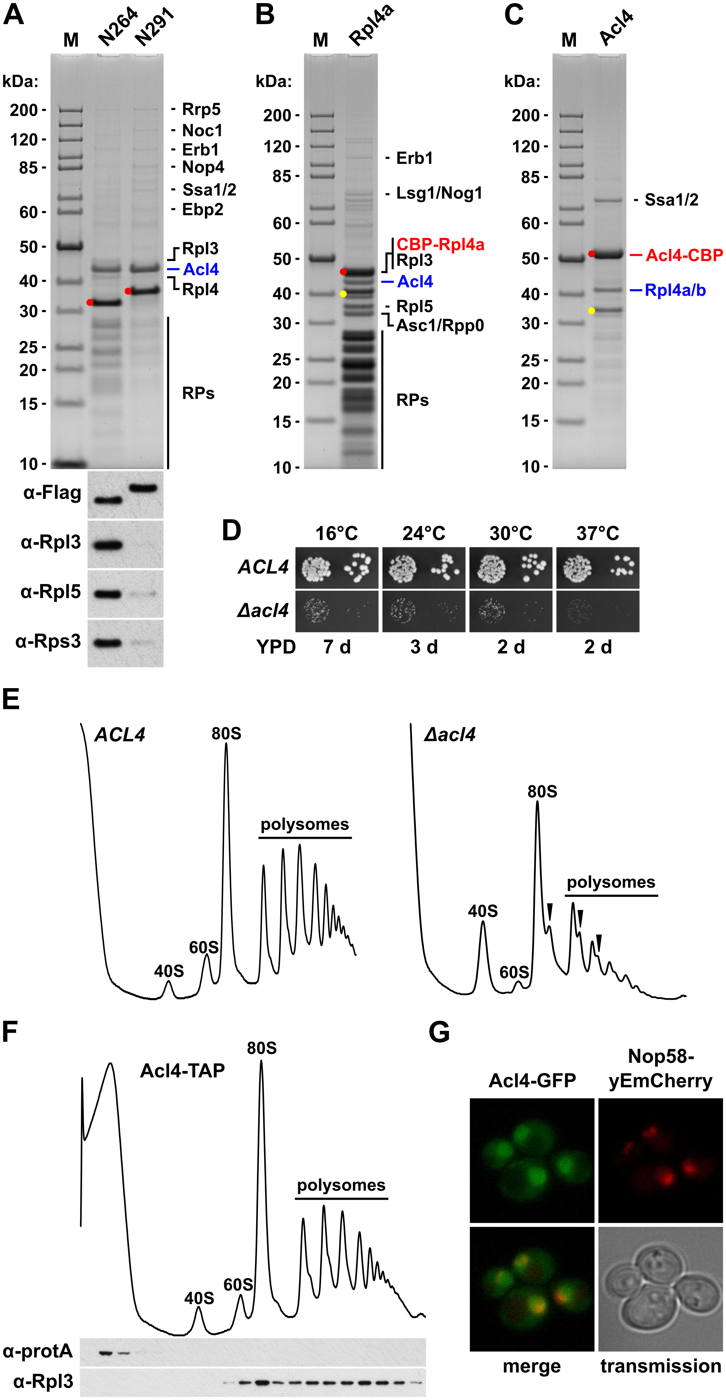 Rpl4 is associated with the specific binding partner Acl4.