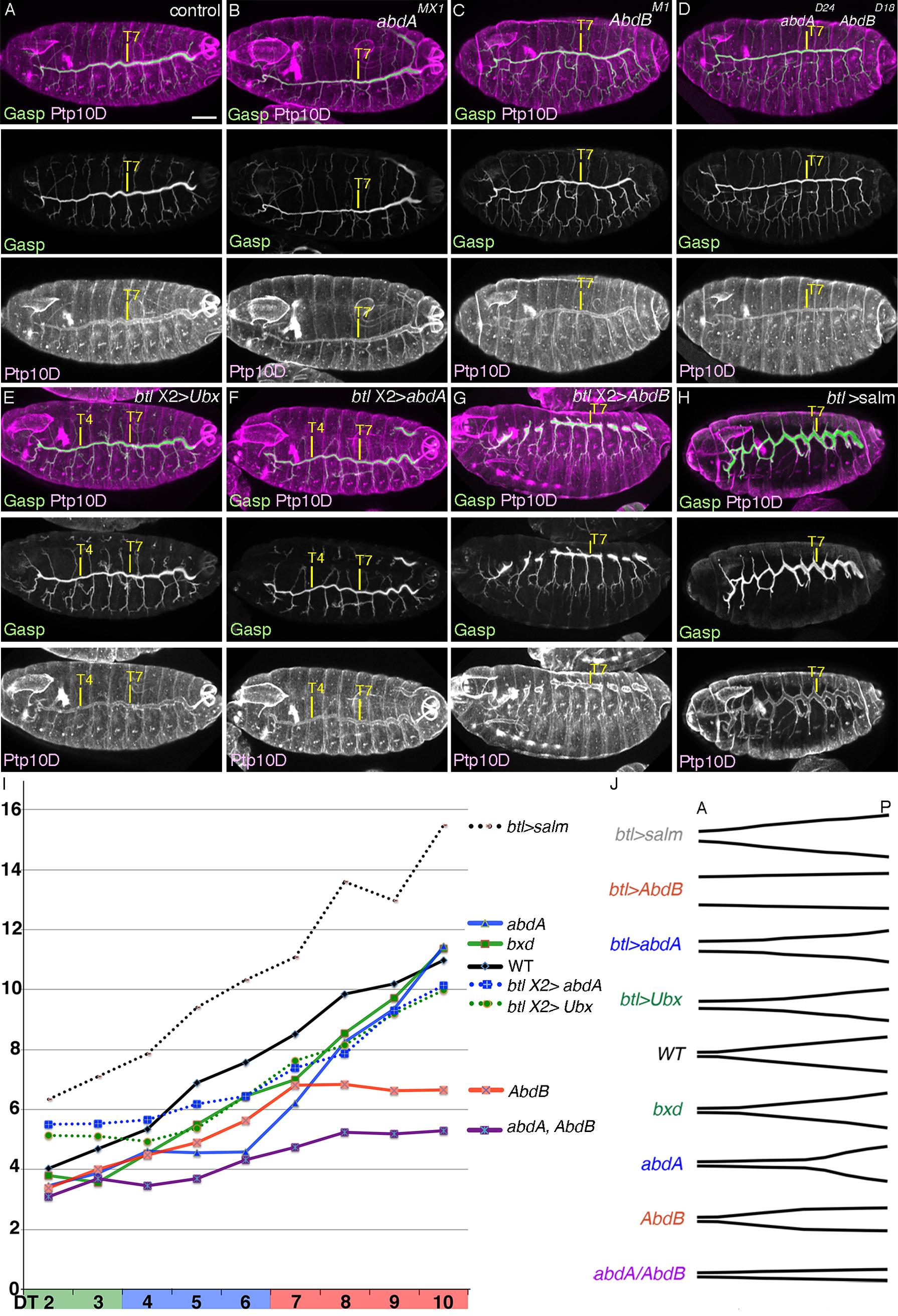 BX-C genes control DT tube tapering.