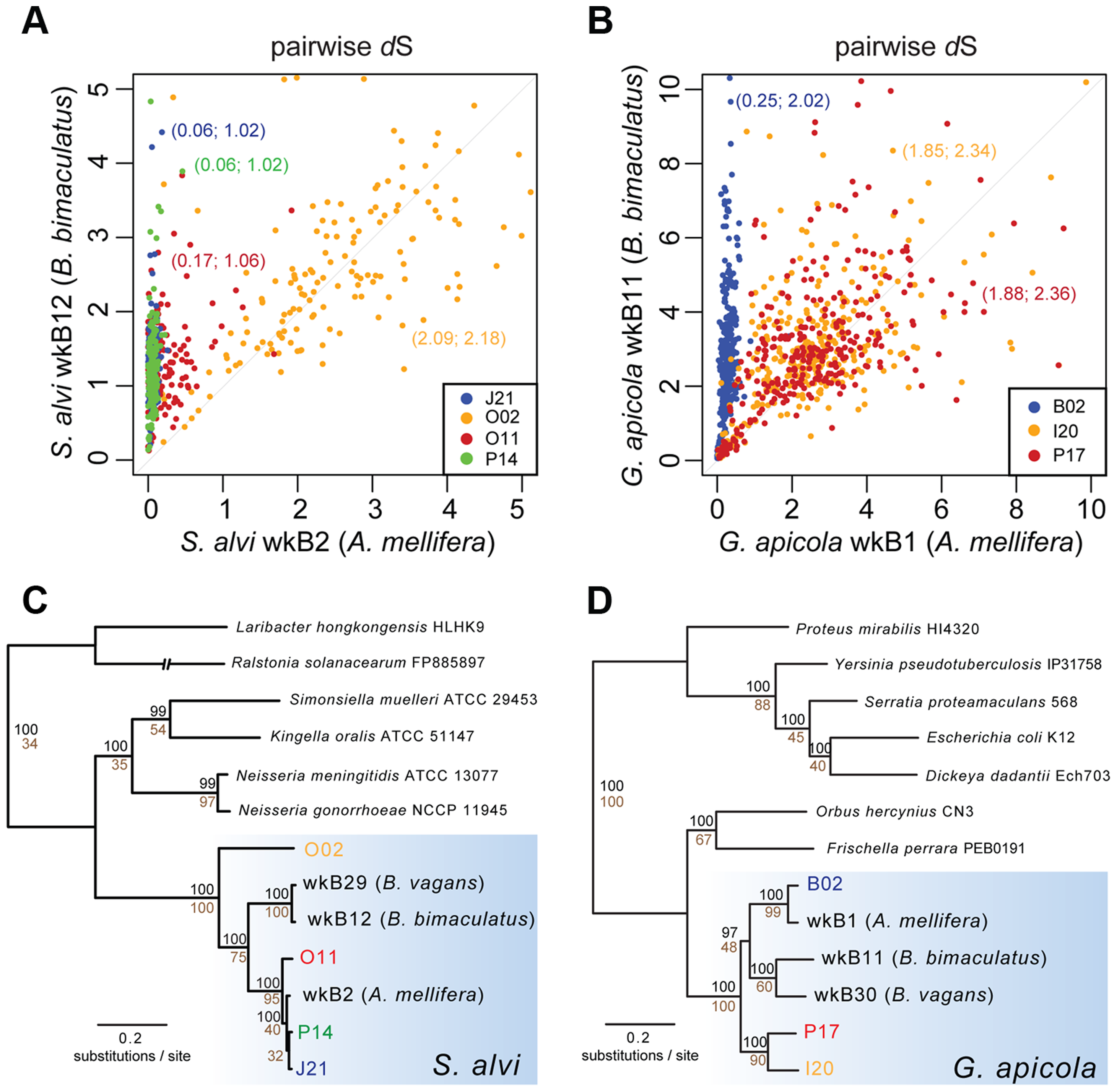 Sequence divergence and phylogenetic analysis of protein-encoding genes of (A and C) <i>S. alvi</i> SAGs and (B and D) <i>G. apicola</i> SAGs.