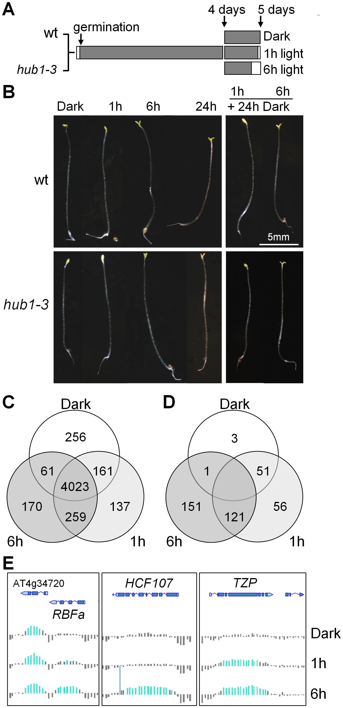 Phenotypic and H2Bub epigenomic changes during de-etiolation.