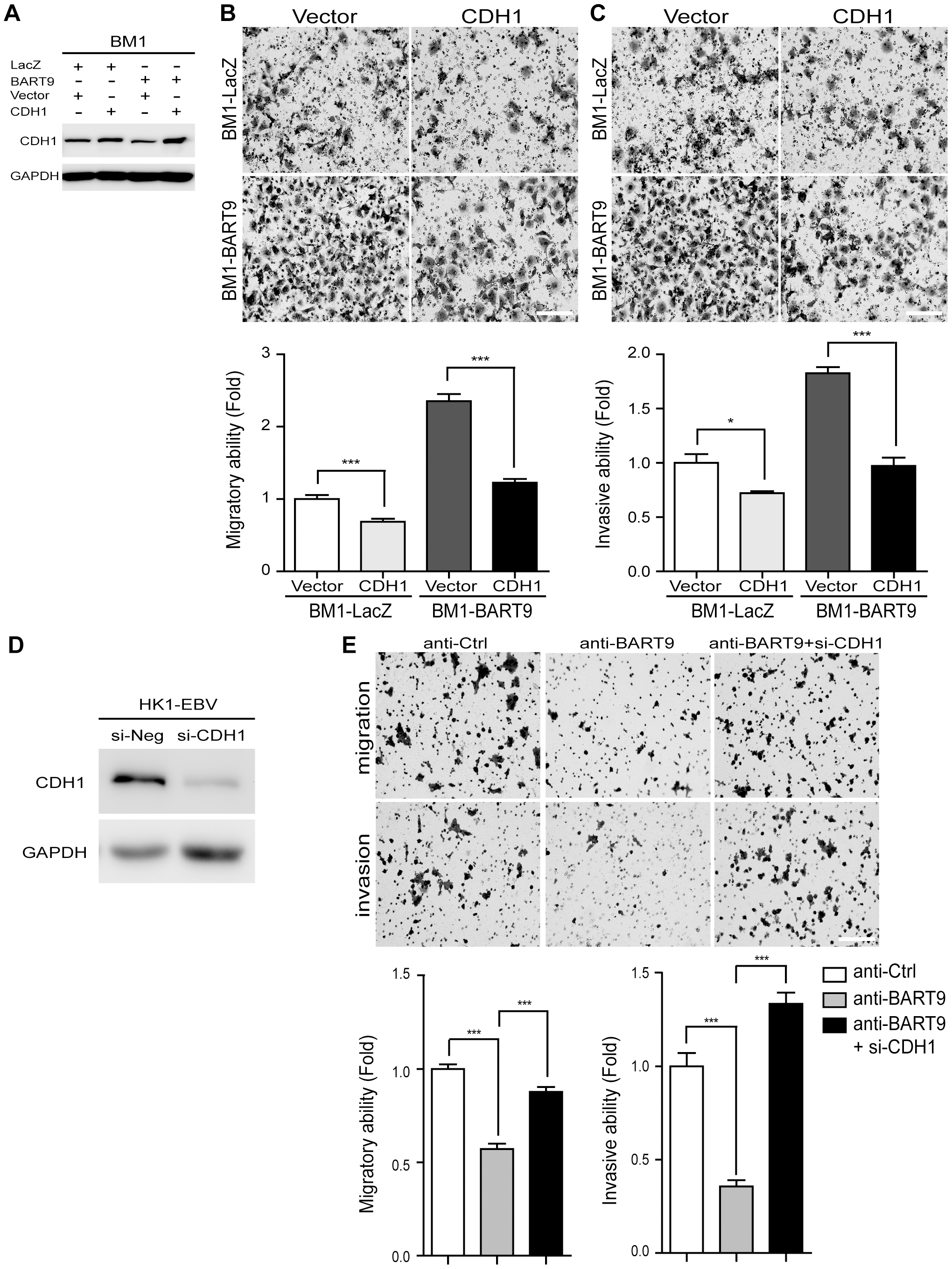 E-cadherin plays a pivotal role in miR-BART9-mediated migration and invasion in NPC cells.