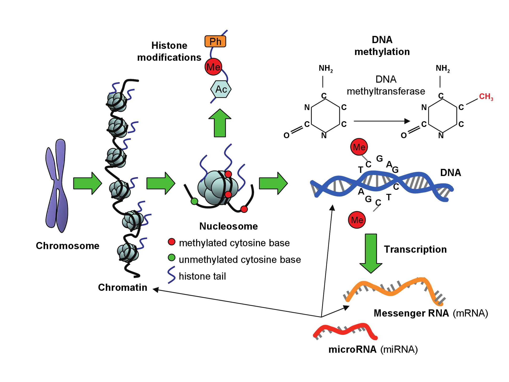 Epigenetic modifications.