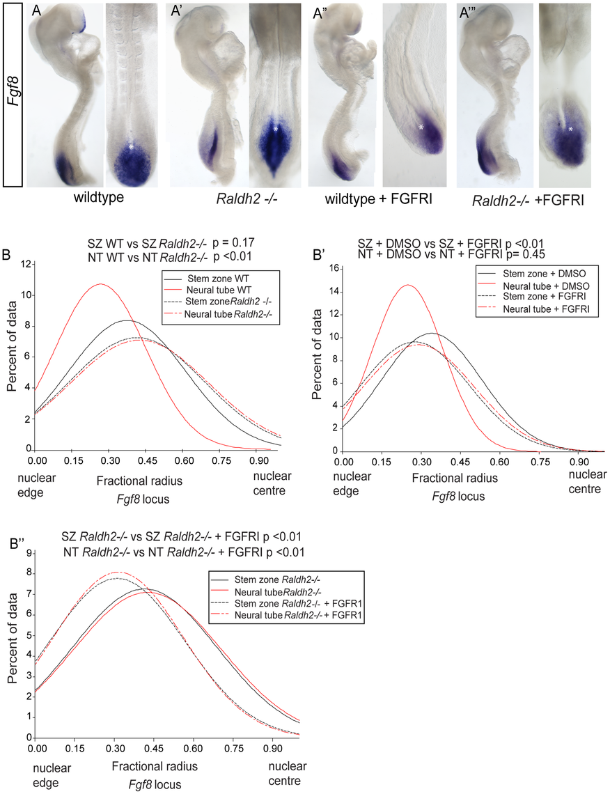 Ectopic <i>Fgf8</i> expression in <i>Raldh2</i> mutants correlates with a more central nuclear position, which is dependent on FGF signalling.