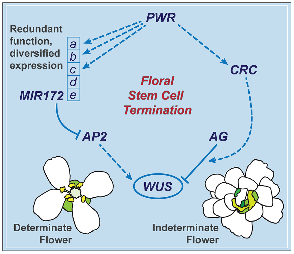 A summary of the floral determinacy gene network highlighting the function of <i>PWR</i>.