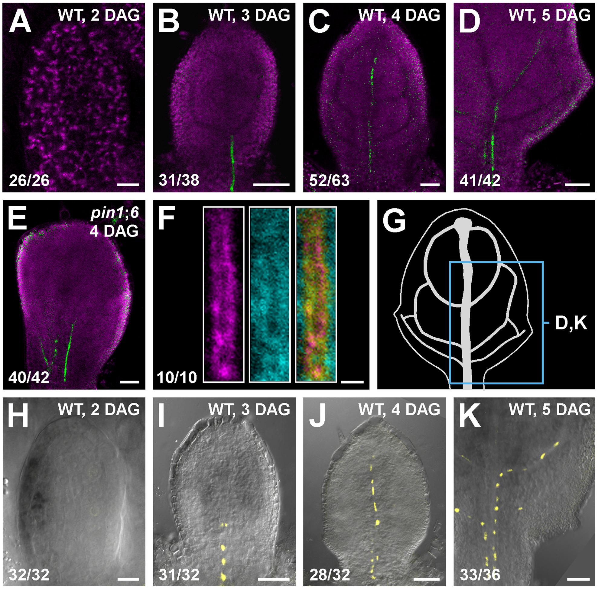 PIN8 expression in leaf development.