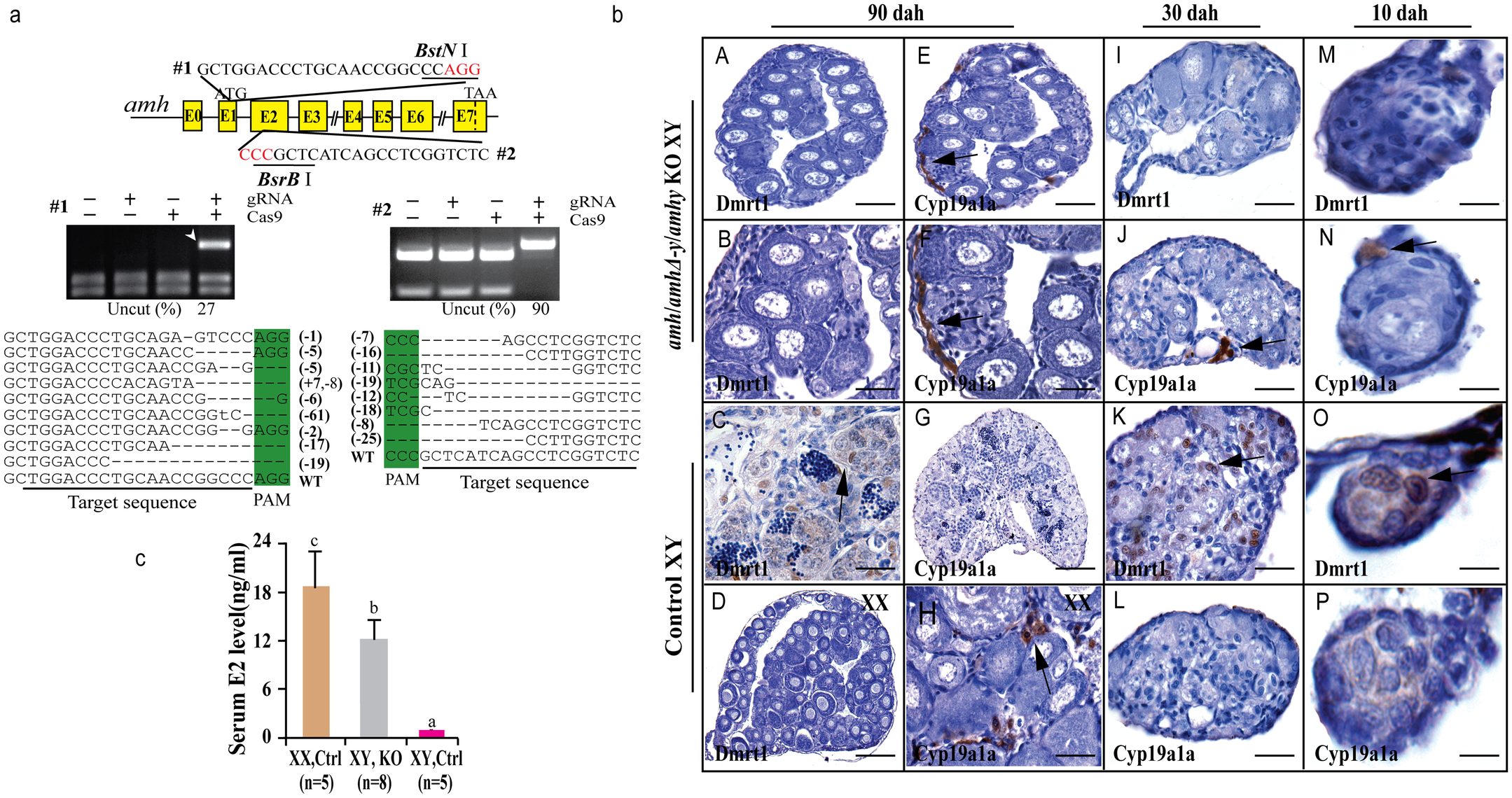 Knockout of Amhy/AmhΔ-y/Amh by CRISPR/Cas9 resulted in male to female sex reversal in F<sub>0</sub> XY fish.
