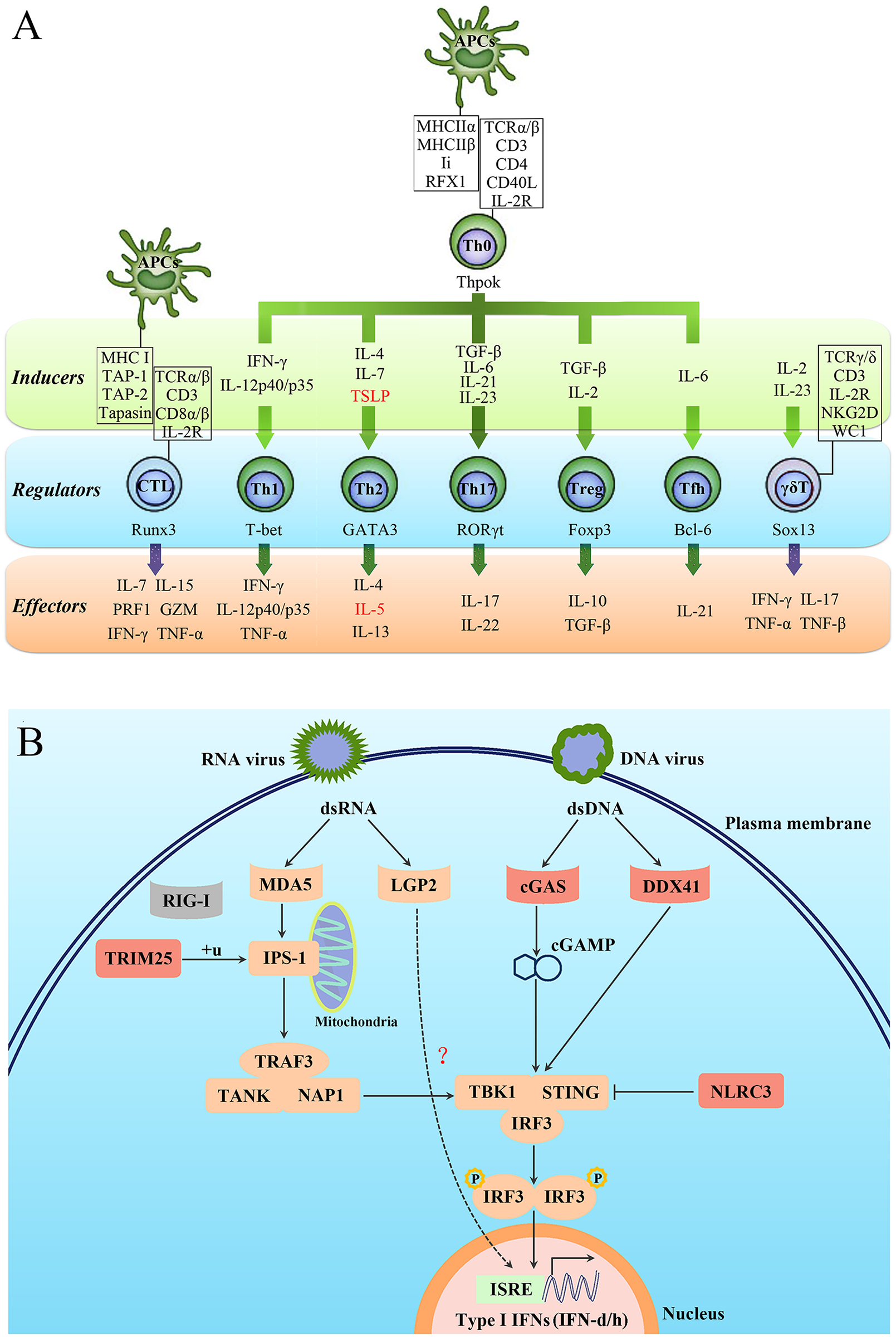Characterisation of the T-cell lineages in <i>L</i>. <i>crocea</i> adaptive immunity and the expanded genes in antiviral immunity.