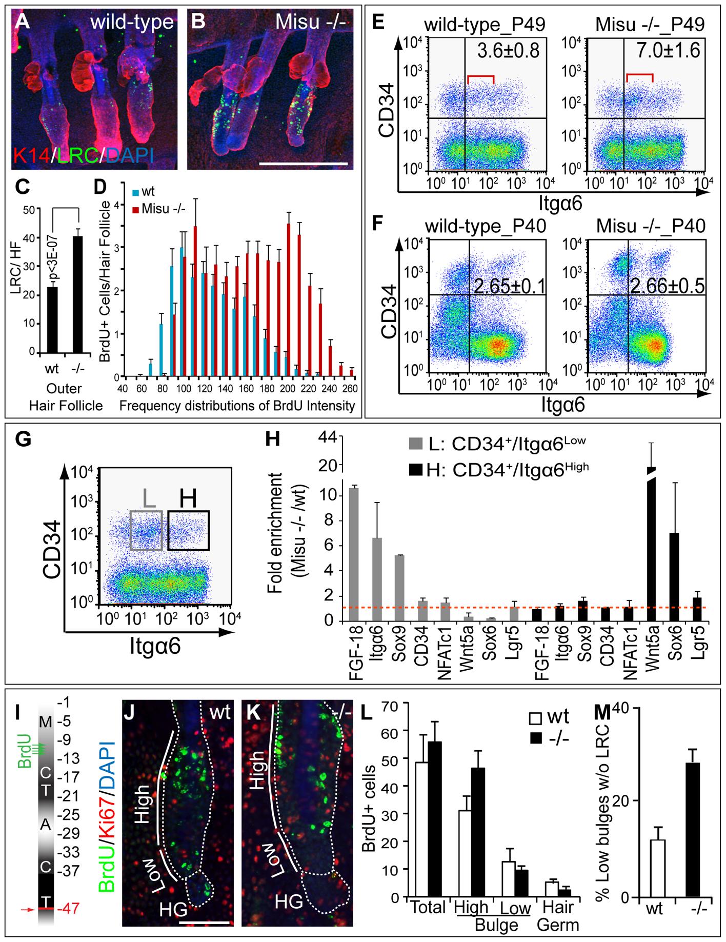 Deletion of Misu increases dormancy of bulge stem cell.