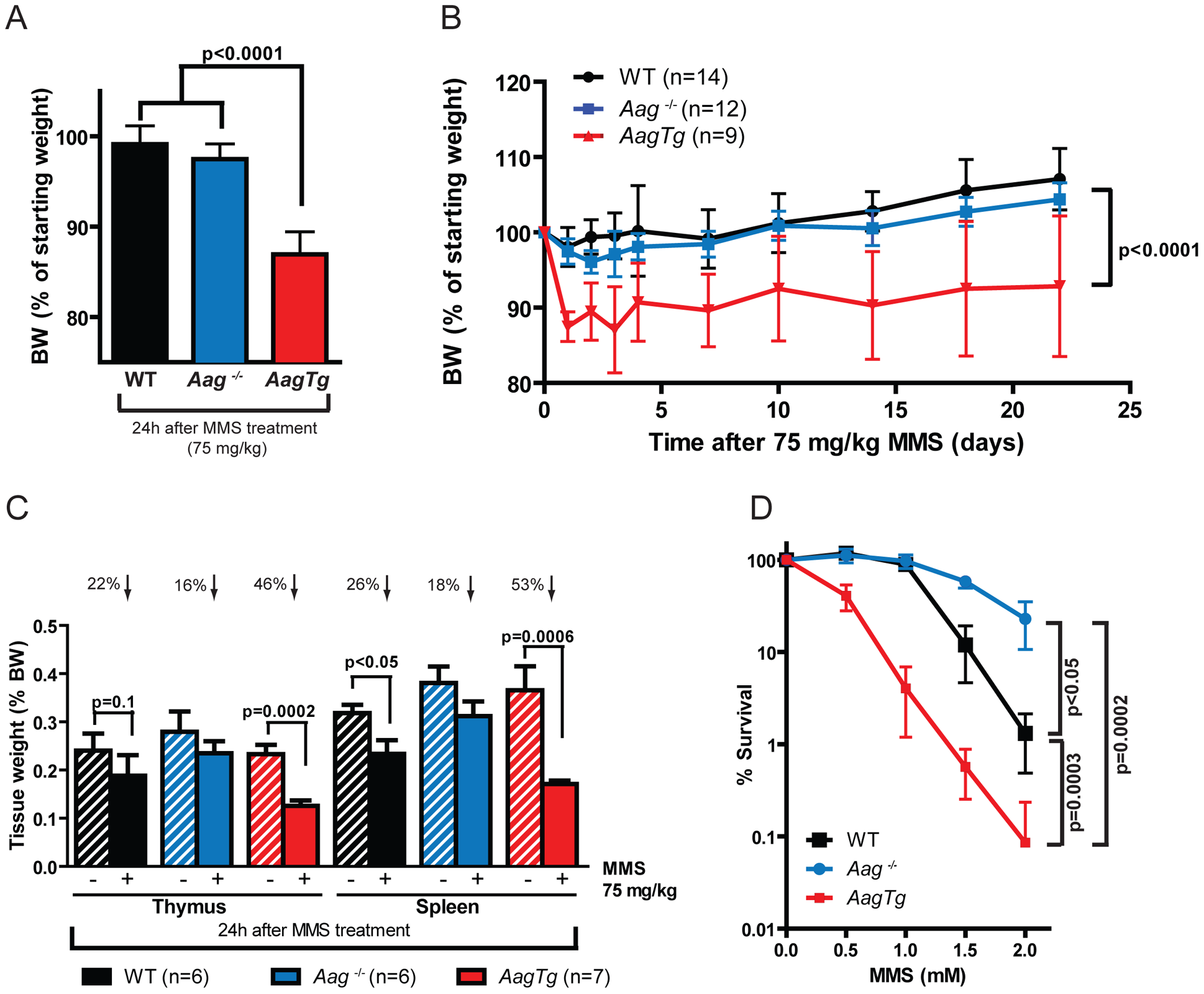 <i>AagTg</i> mice are more susceptible to MMS-induced toxicity.