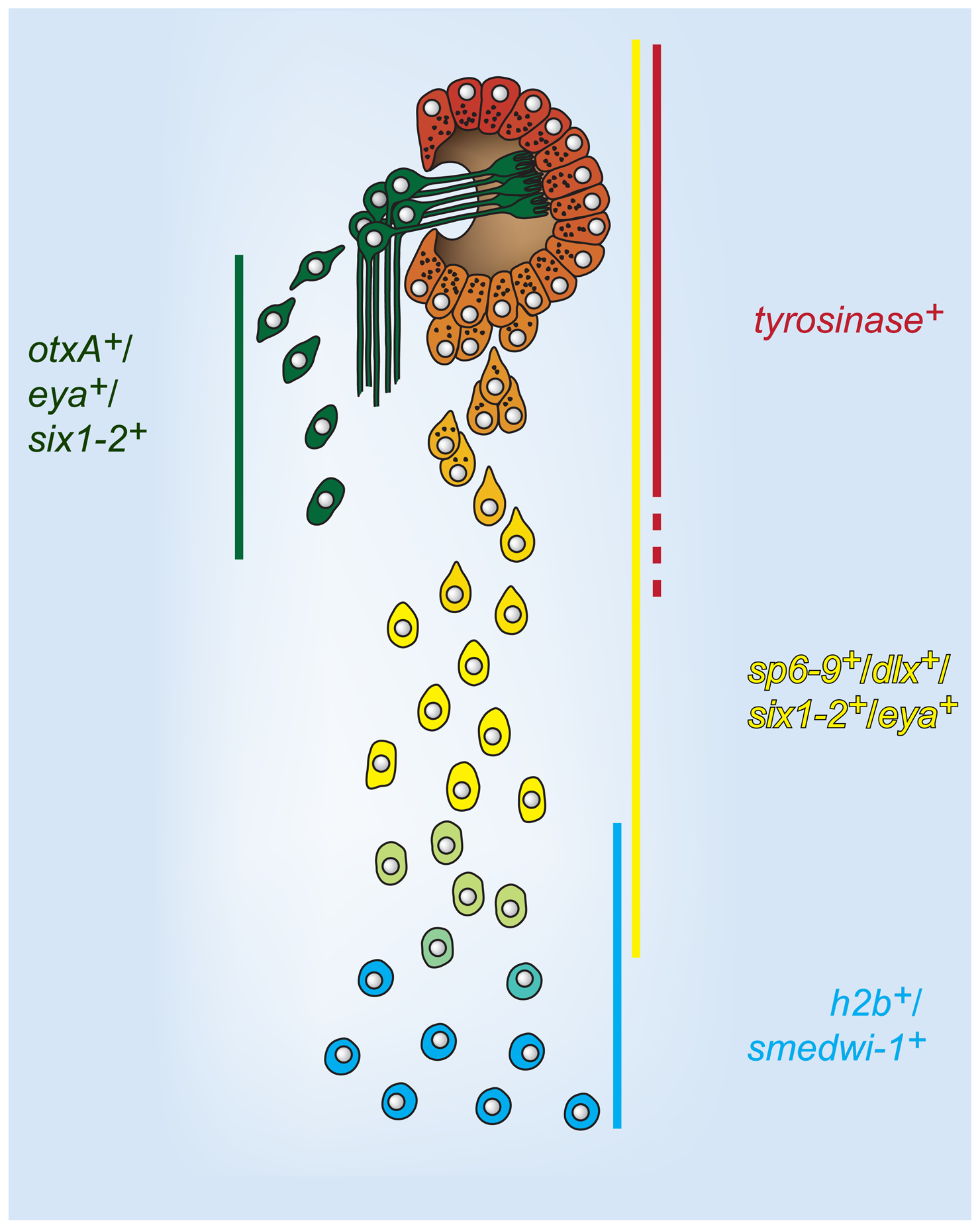 A model for cell state changes in pigment cup regeneration.