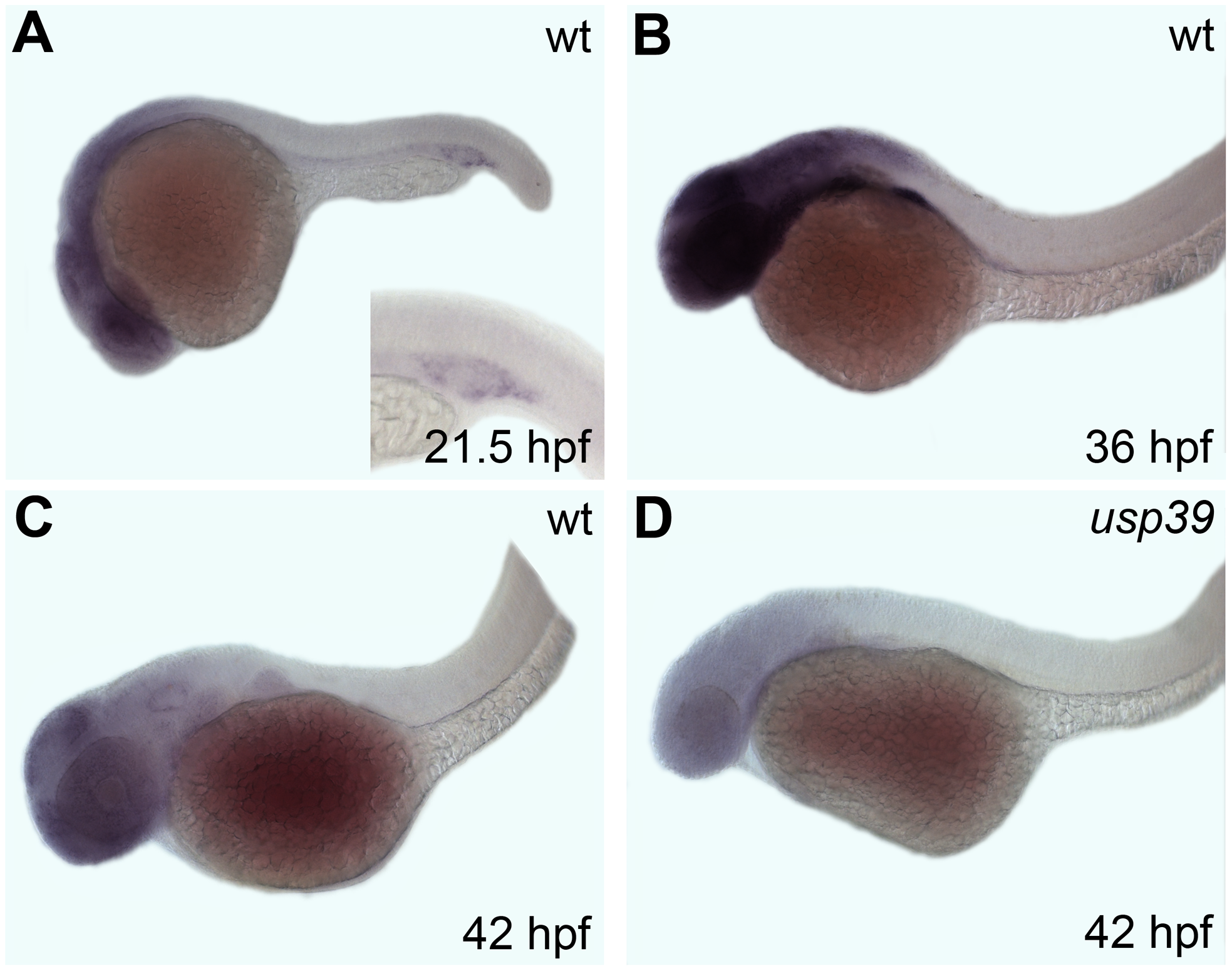 Whole-mount <i>in situ</i> hybridization analysis of the zebrafish <i>usp39</i> expression pattern.