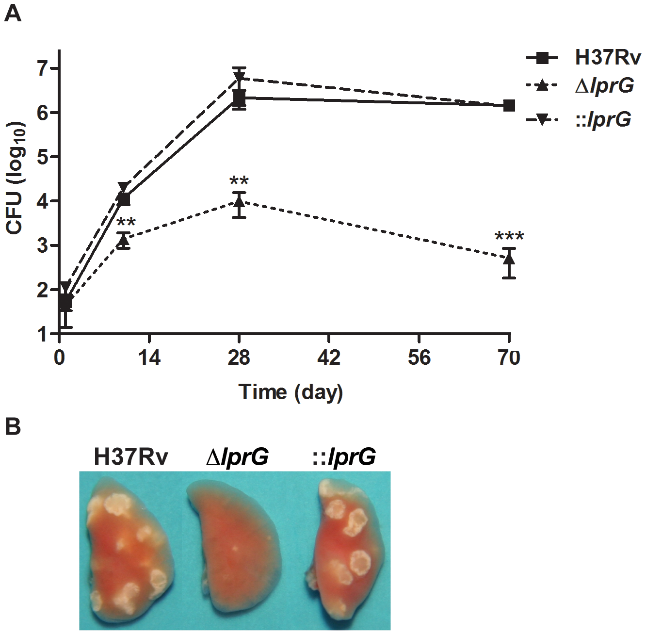The <i>lprG</i> mutant cannot persist in mouse lung.