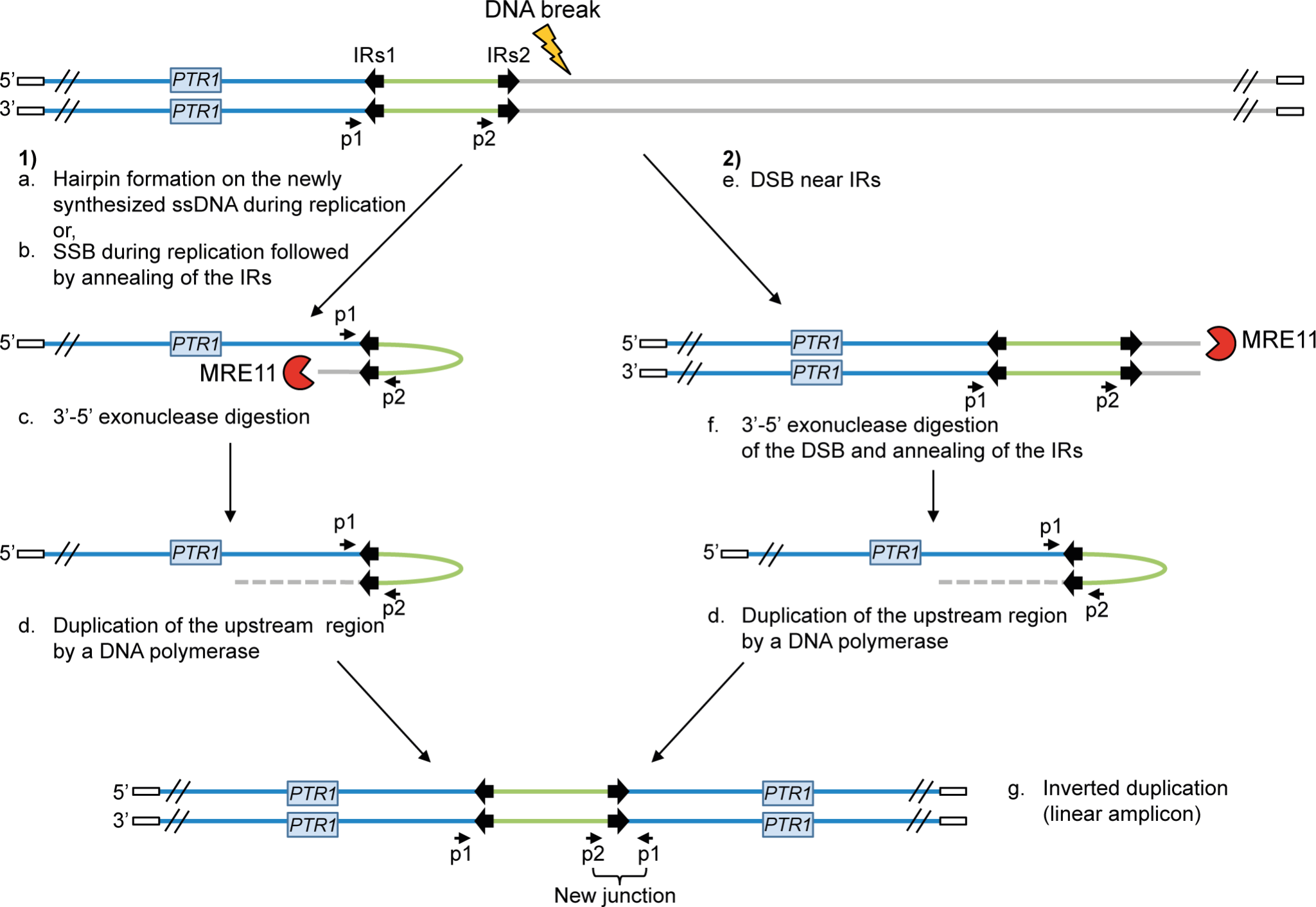 Potential mechanisms for the formation of extrachromosomal linear amplicons.