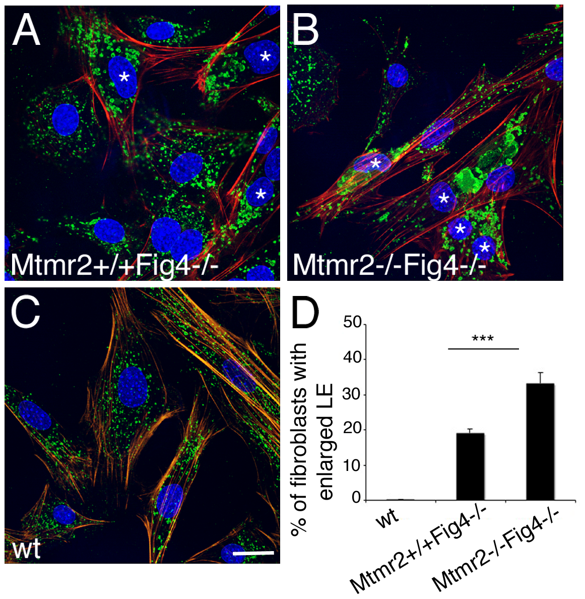 Enlarged late endosomal compartment in primary fibroblasts from <i>Mtmr2</i>+/+<i>Fig4</i>−/− and <i>Mtmr2</i>−/−<i>Fig4</i>−/− mutant mice.