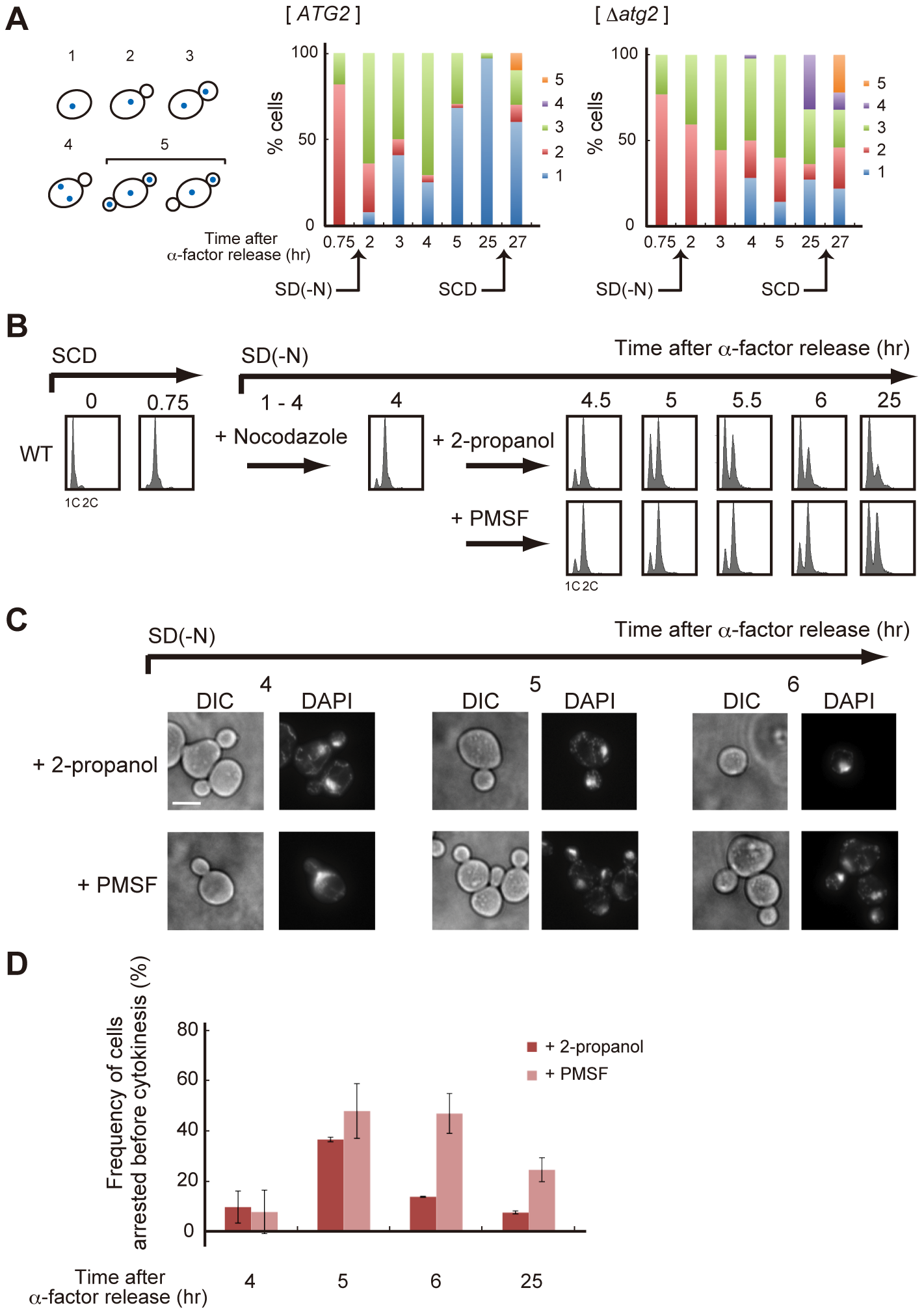 Autophagy is required for completion of cytokinesis.