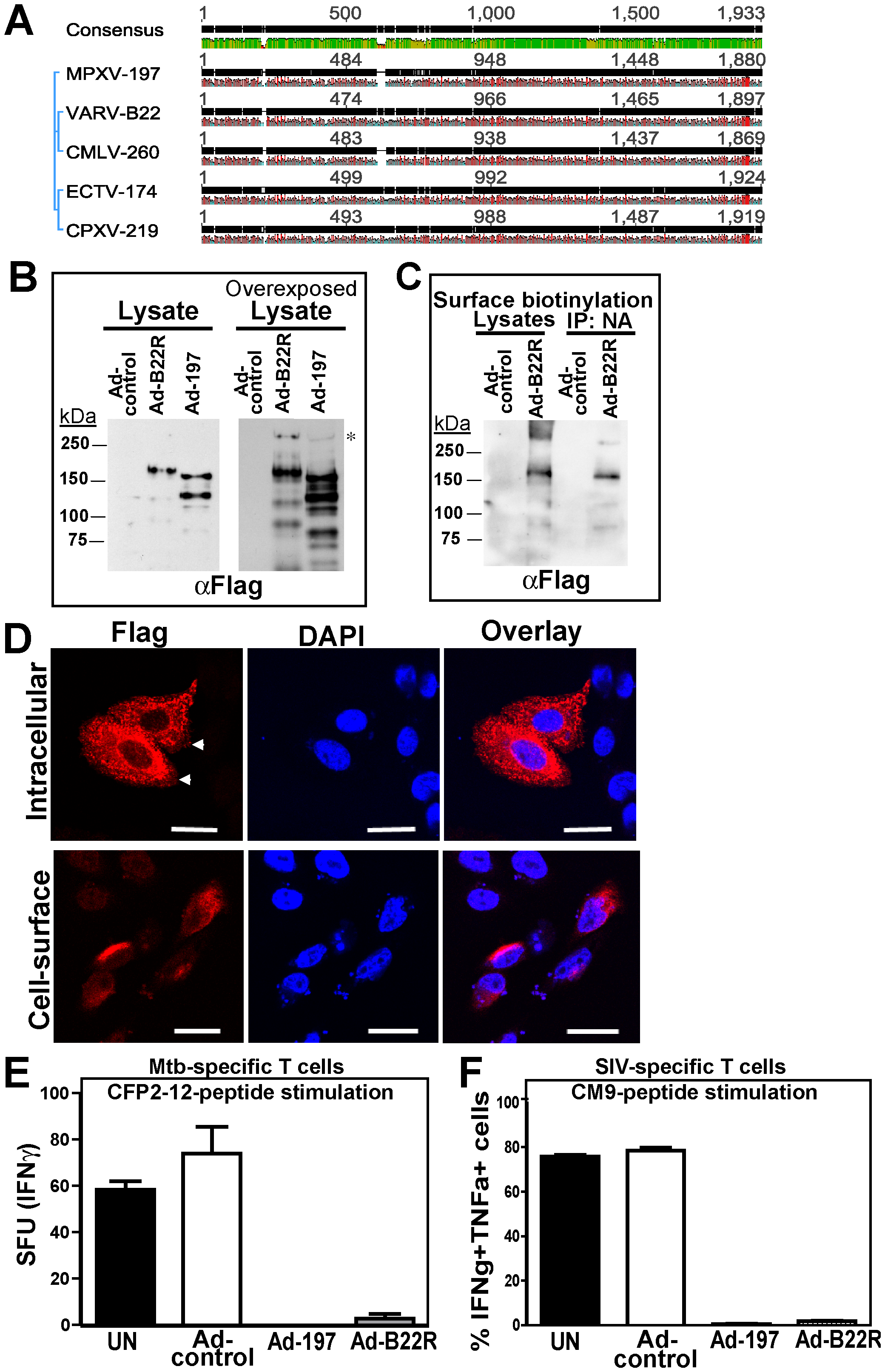 Inhibition of T cell activation by VARV B22.