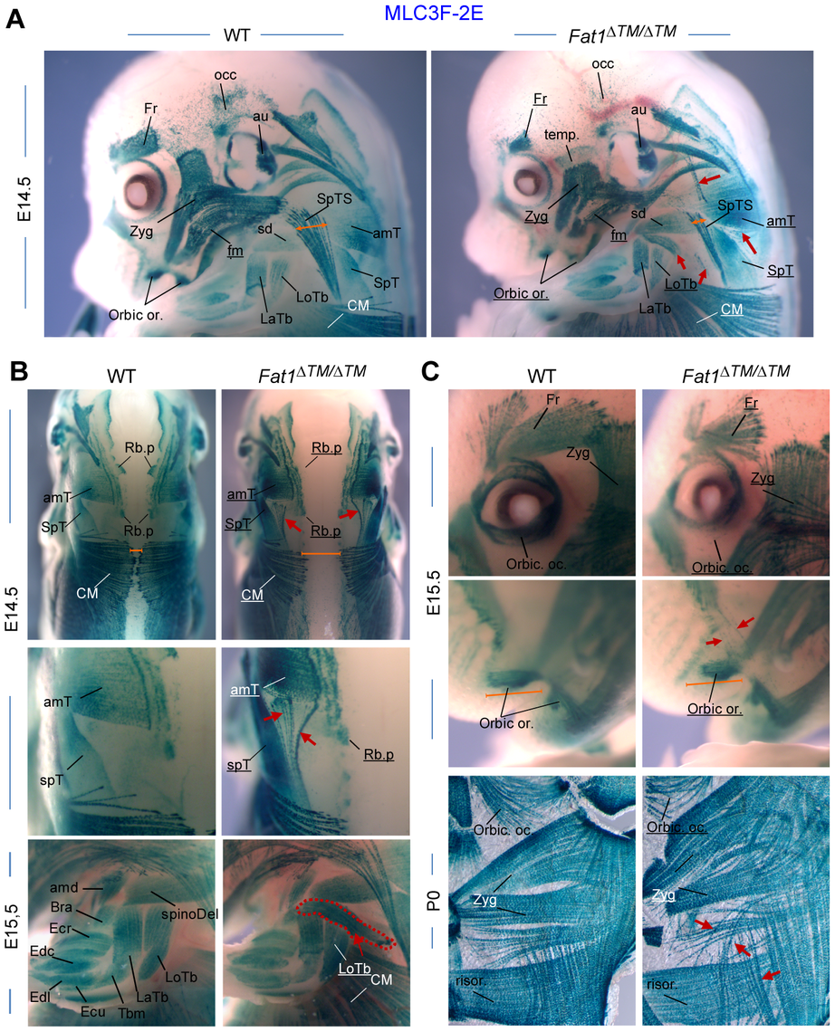 <i>Fat1</i> loss of function alters shapes of selective facial and scapulohumeral muscles.
