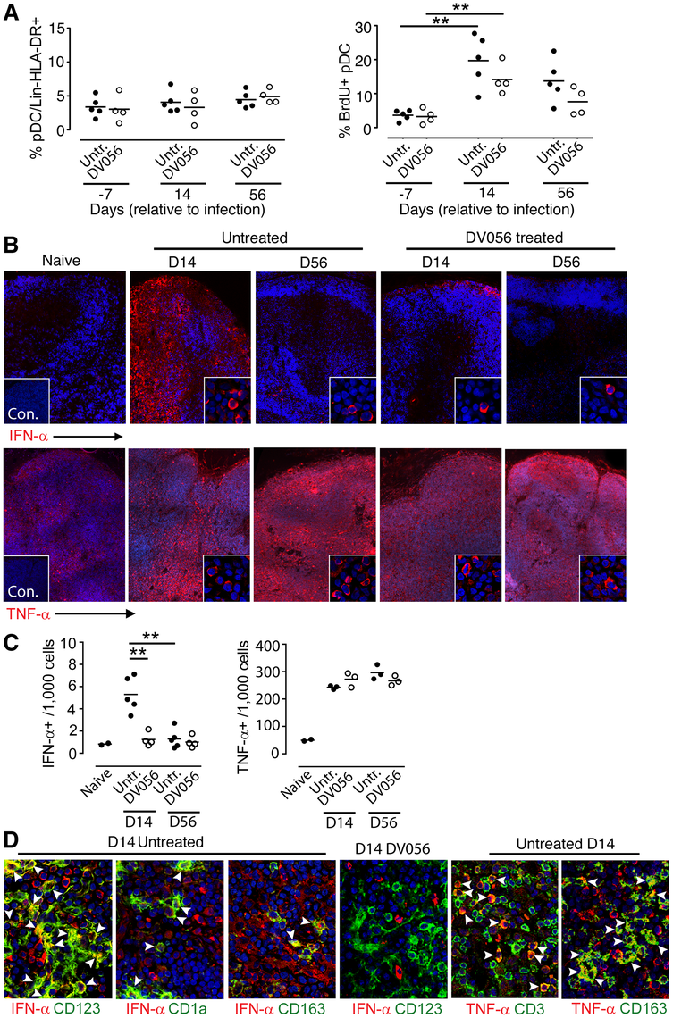 TLR7 and TLR9 antagonist blocks transient IFN-α production by pDC in lymph nodes without suppressing recruitment.