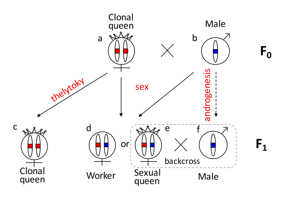 Graphical summary of the unusual reproduction system of <i>V</i>. <i>emeryi</i> and the experimental design.