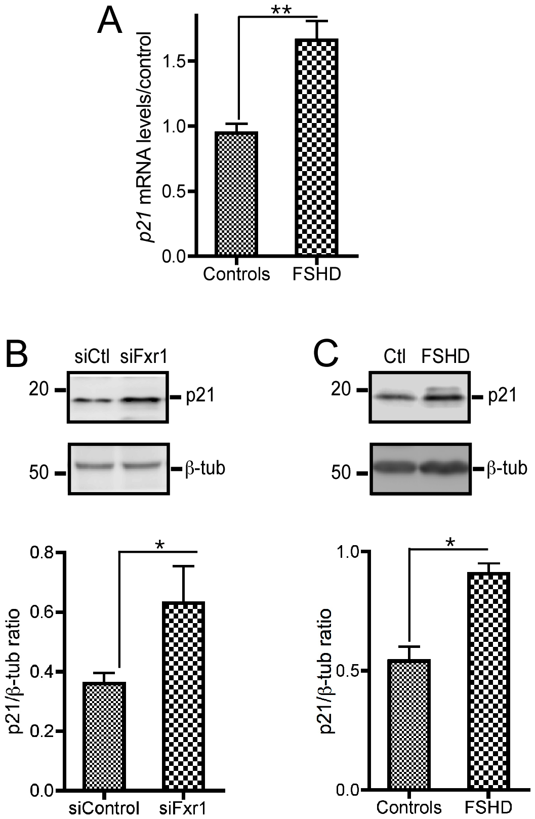 FXR1P depletion in C2C12 cells and in myoblasts derived from FSHD myopathic patients biopsies contributes to a consistent increase in <i>p21</i> mRNA that translates into enhanced p21 protein levels.