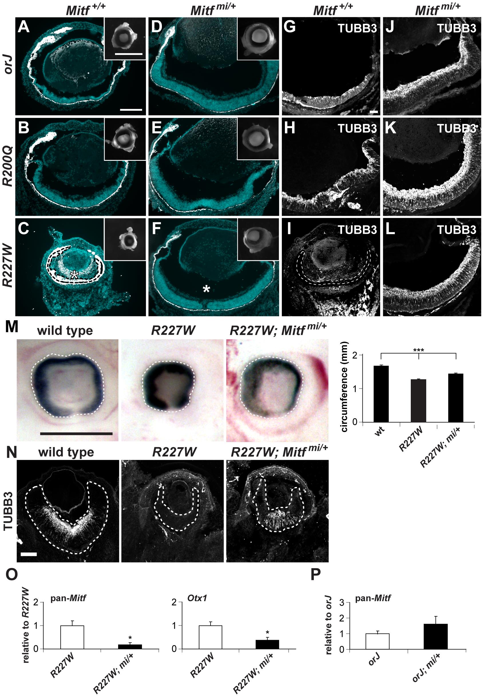 The dominant negative allele <i>Mitf<sup>mi</sup></i> restores retinal development in the <i>Vsx2</i> mutants.
