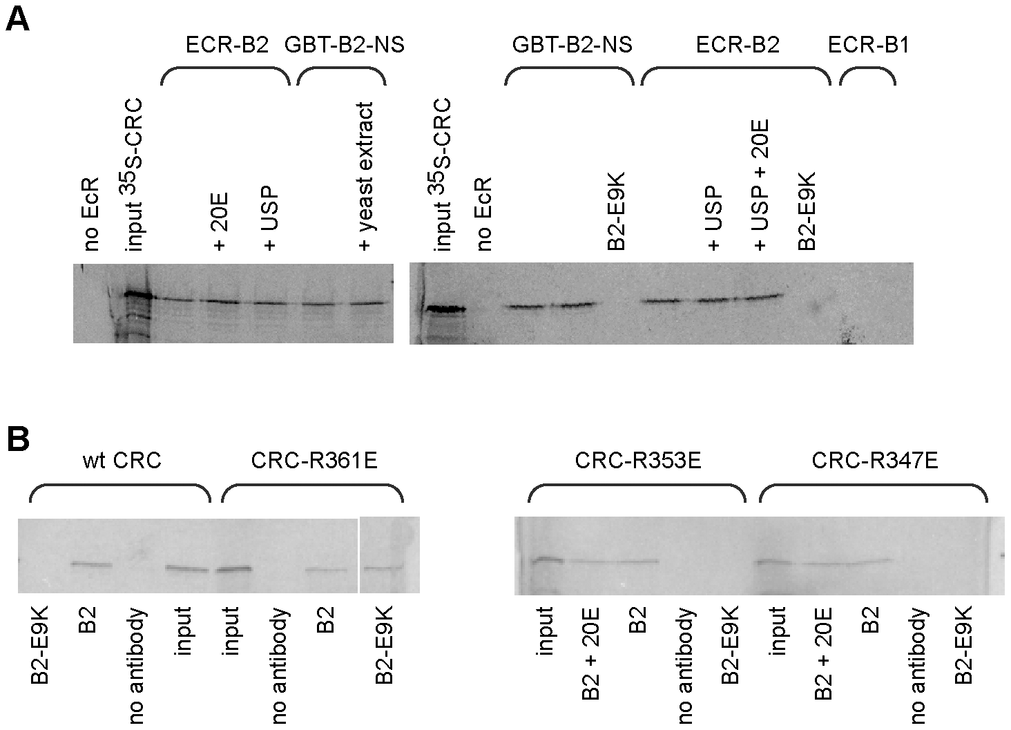 Binding of CRC to EcR-B2 <i>in vitro</i>.