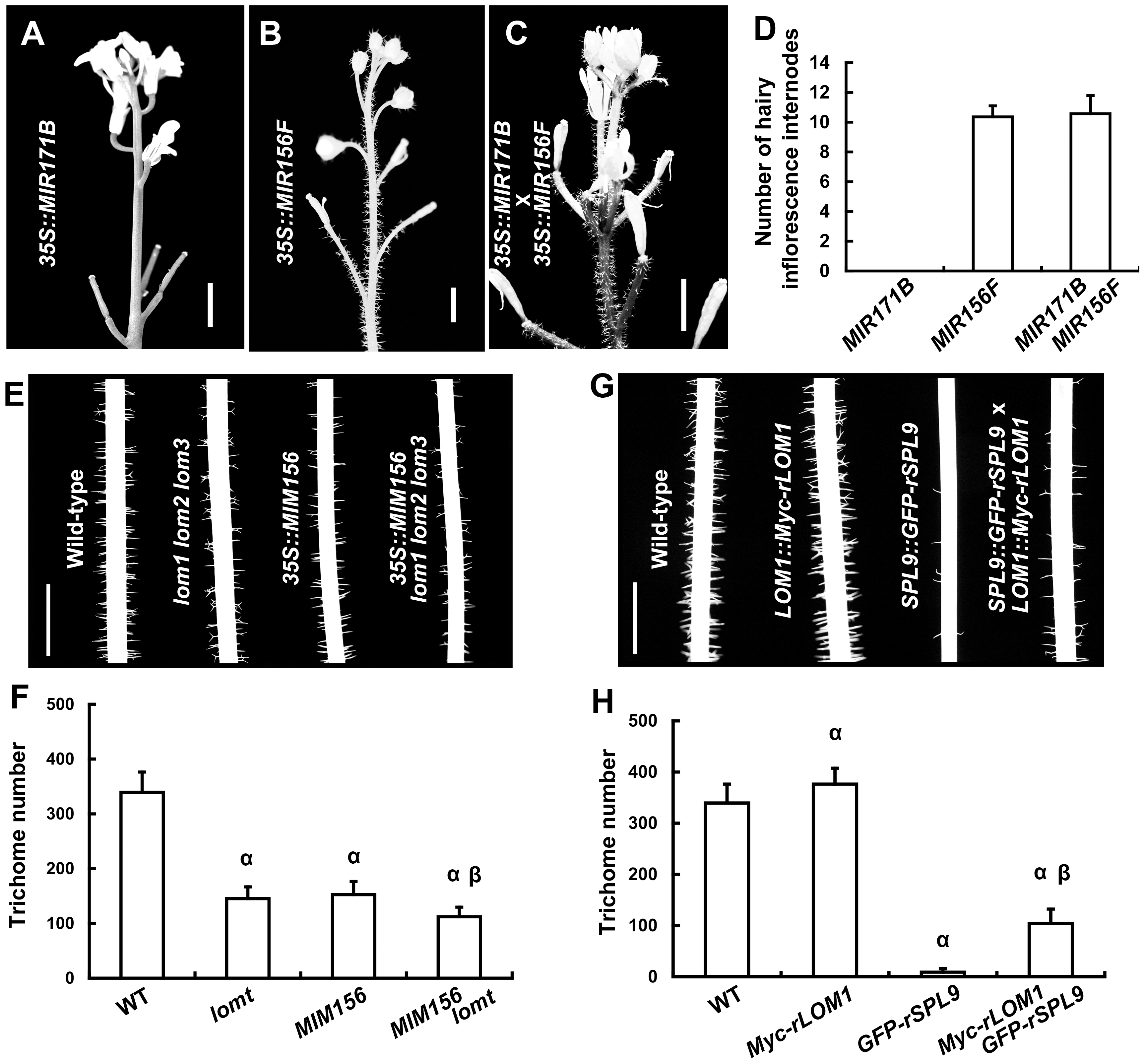 LOMs and SPLs regulate trichome formation antagonistically.