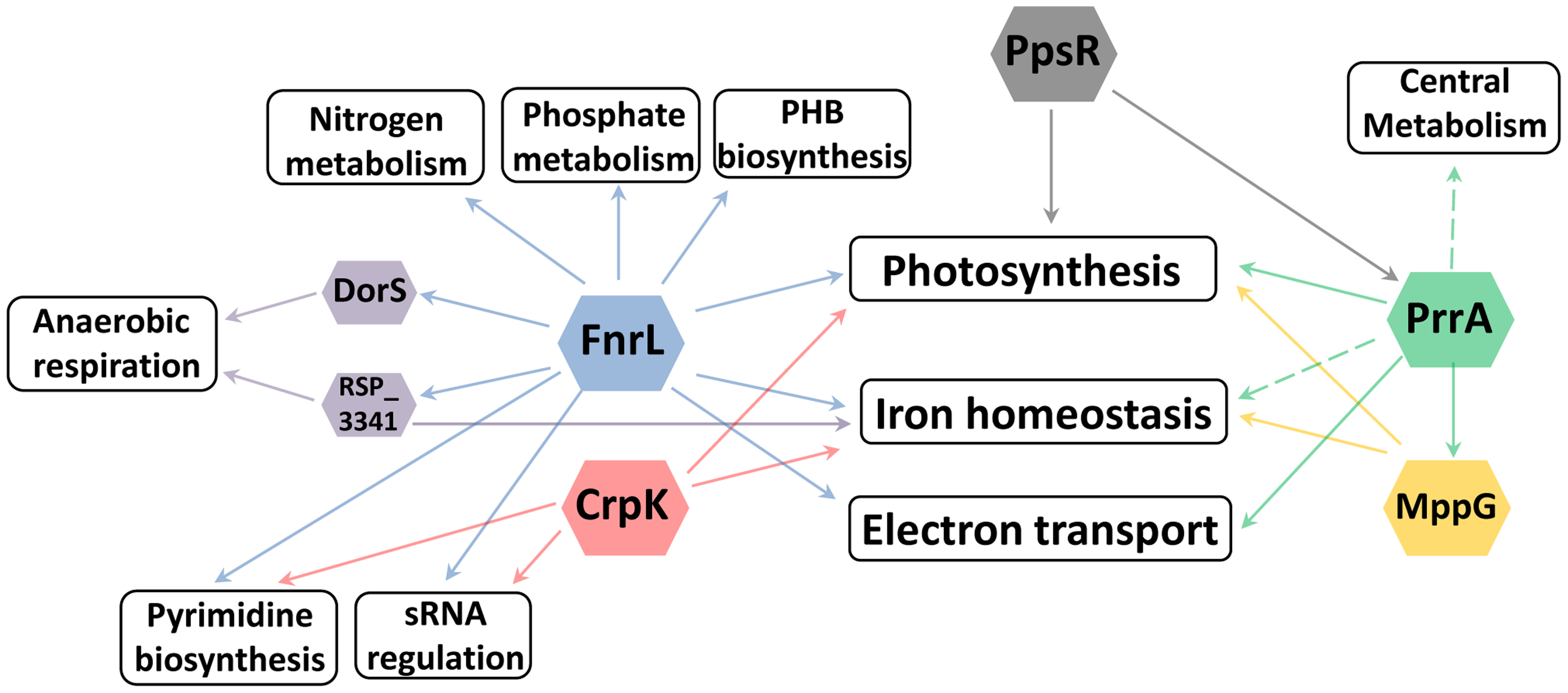Cellular processes regulated by photosynthesis global regulators.