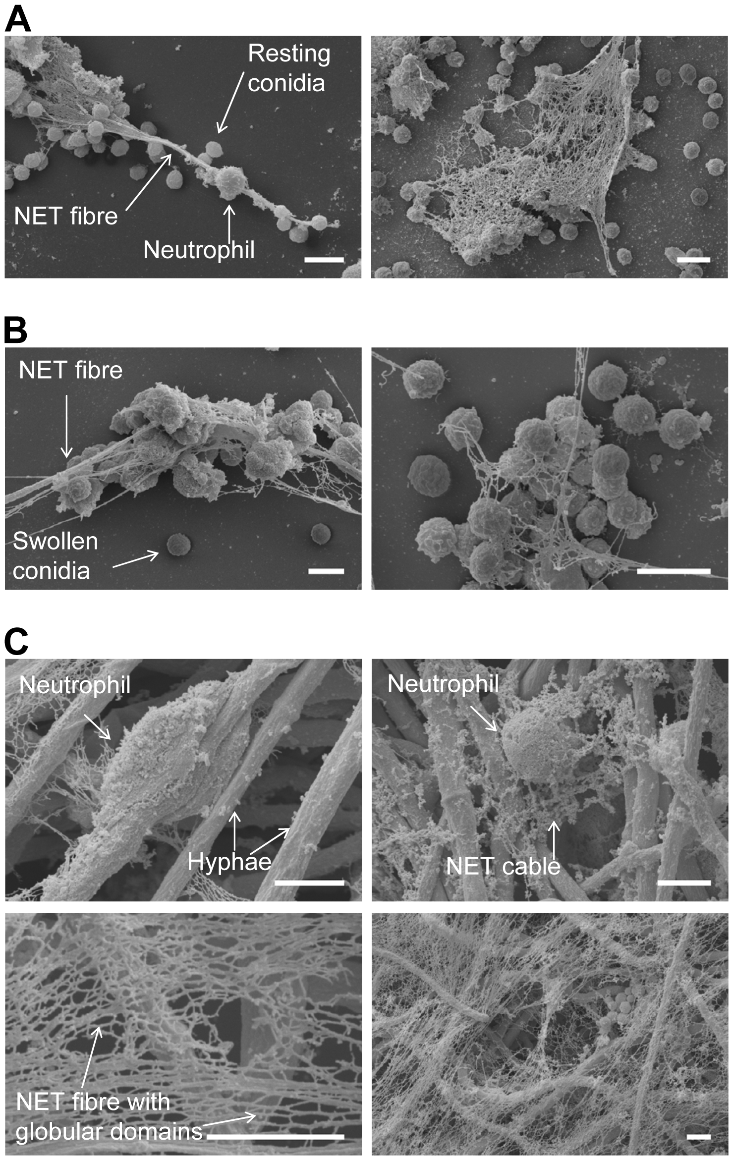 Scanning electron microscopy (SEM) micrographs of conidia and hyphae trapped in NETs.