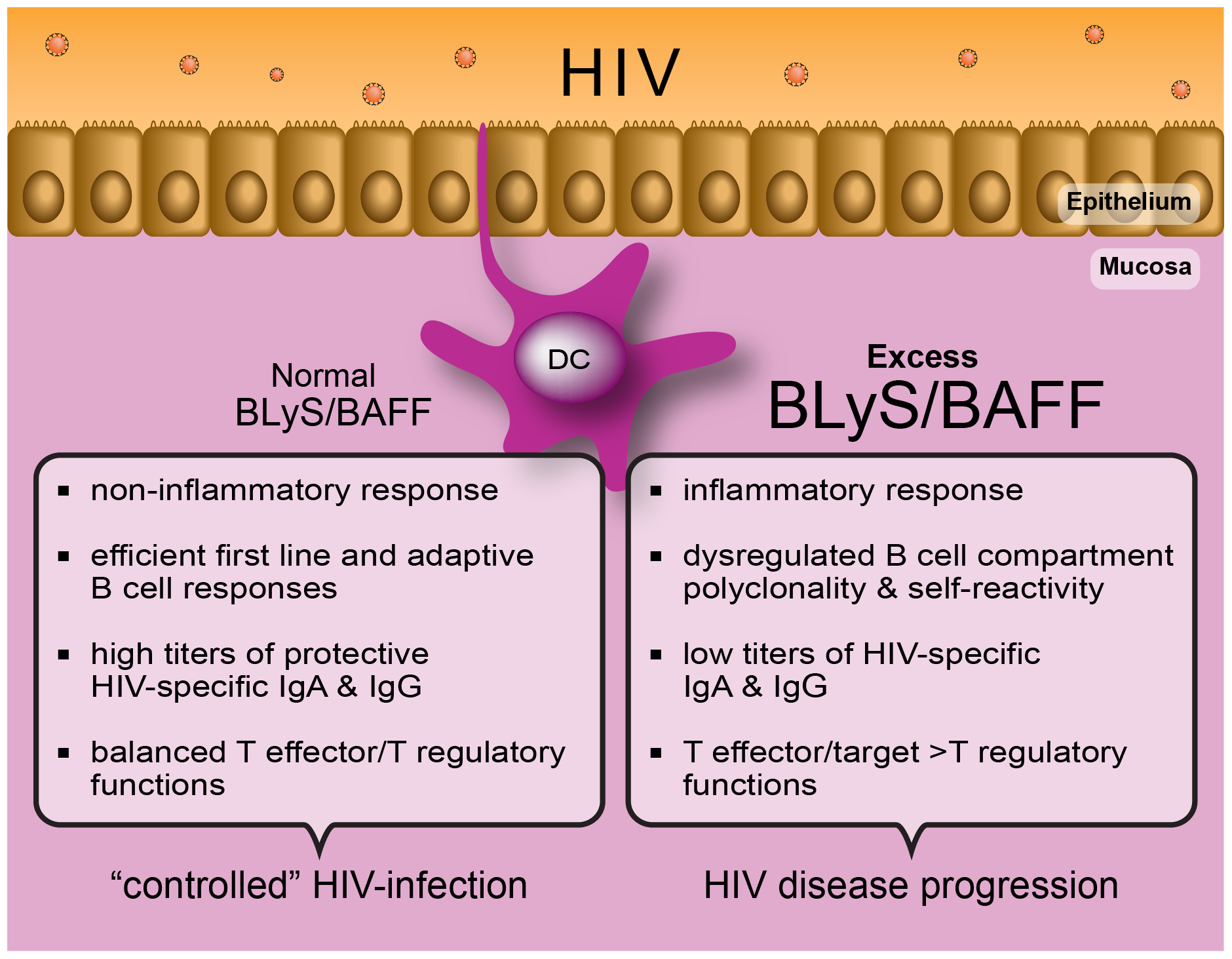"The capacity to control immune homeostasis at mucosal sites, where the main battle against HIV takes place, is reflected by a normal ""non-inflammatory"" BLyS/BAFF expression status."