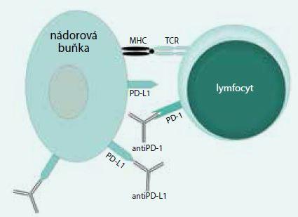 Schéma 2. Mechanizmus účinku protilátek proti PD1/PDL1