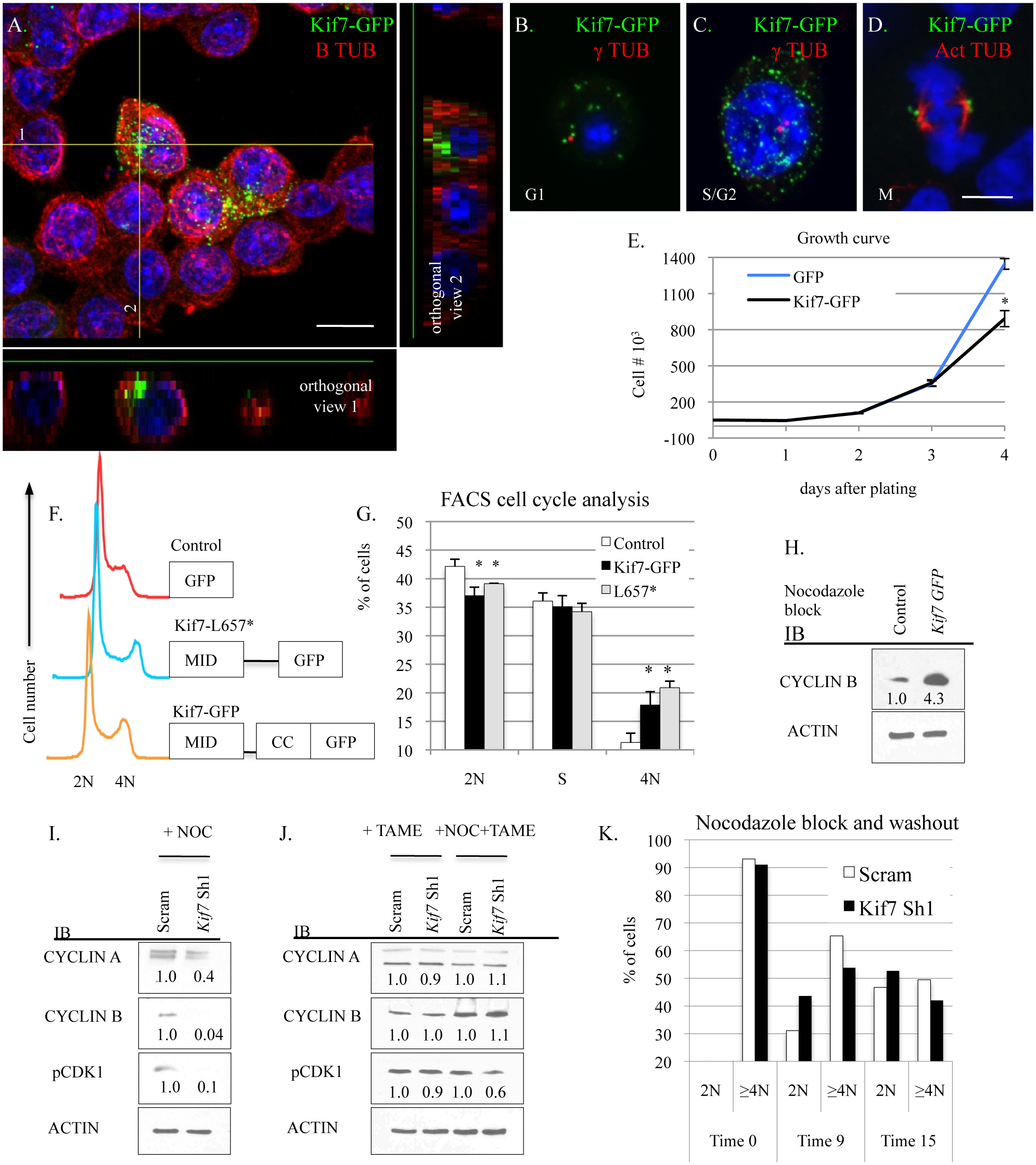 KIF7 regulates mitotic exit in mouse lung epithelial cells.